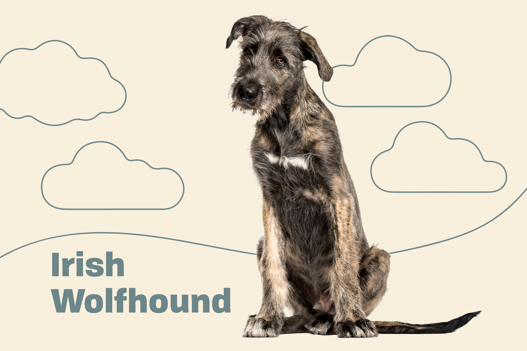 Irish Wolfhound Breed Photo