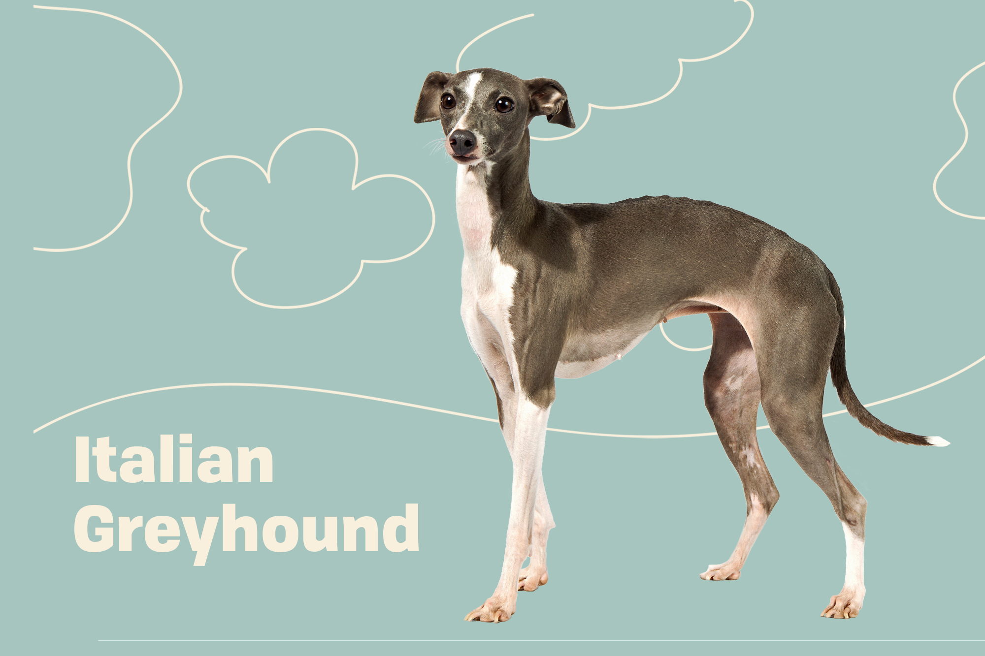 Italian Greyhound Breed Photo