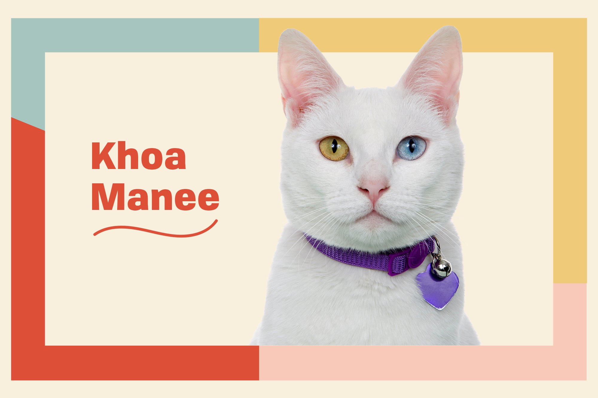 Khao Manee Breed Photo