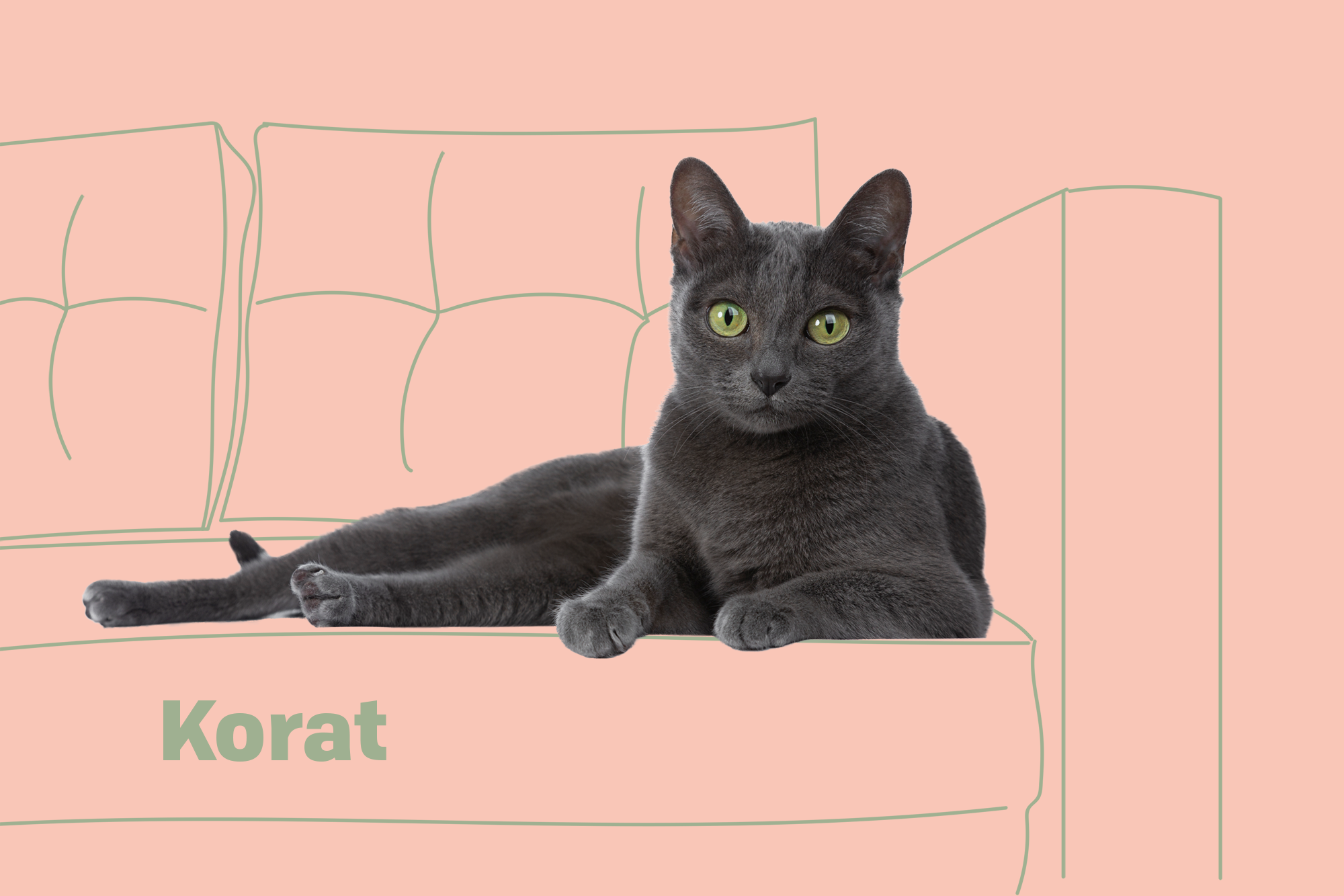 Korat Breed Photo