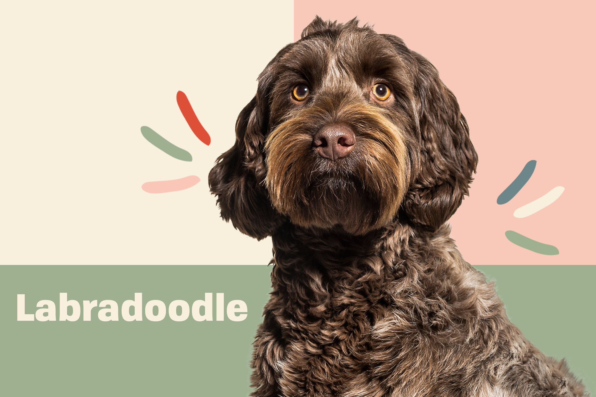Labradoodle Breed Photo