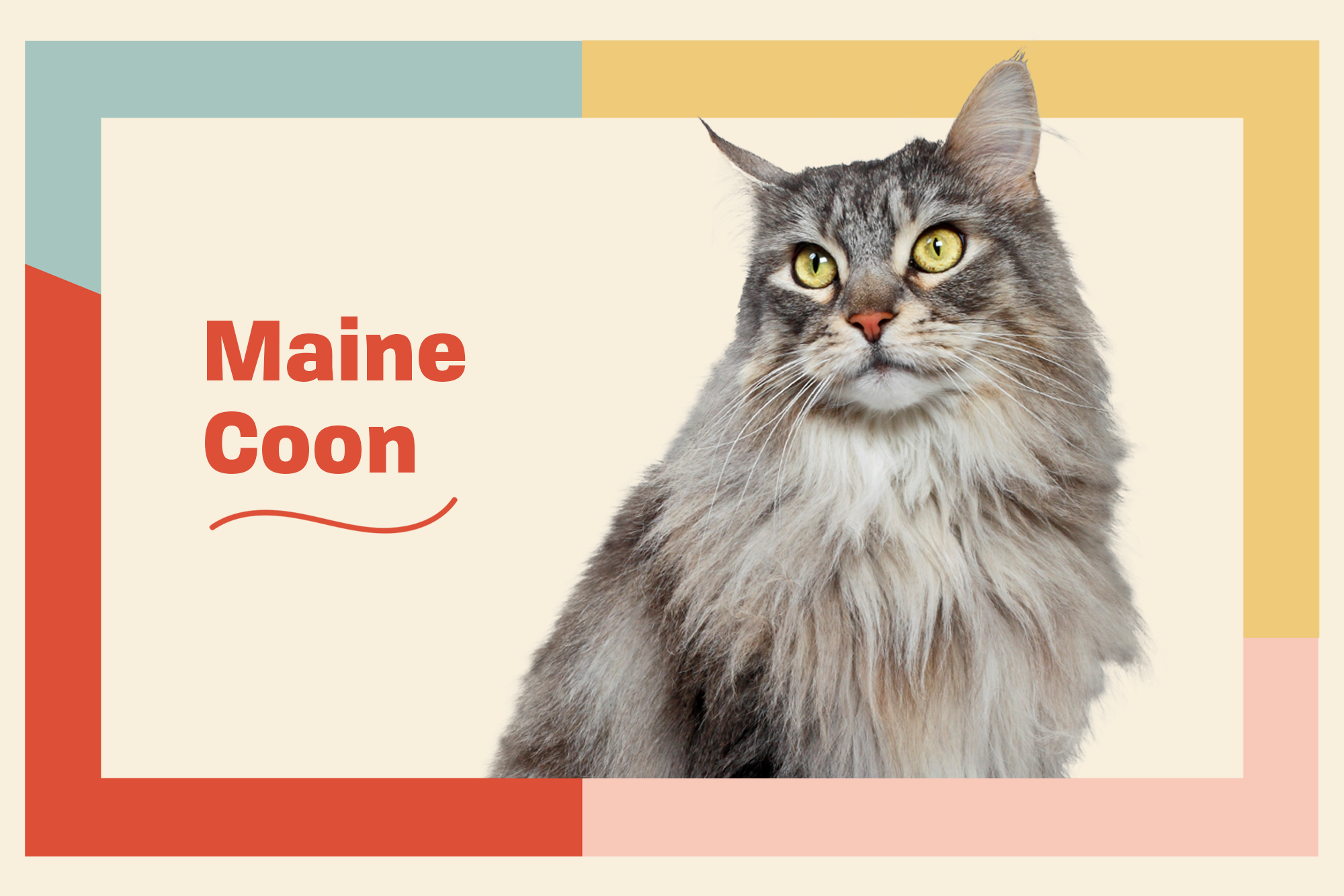 Maine Coon Breed Photo