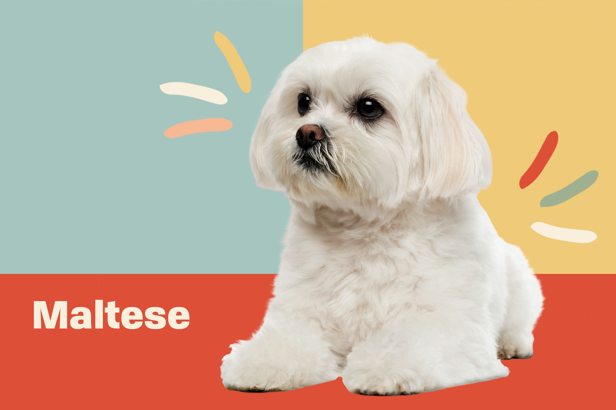 Maltese Breed Photo