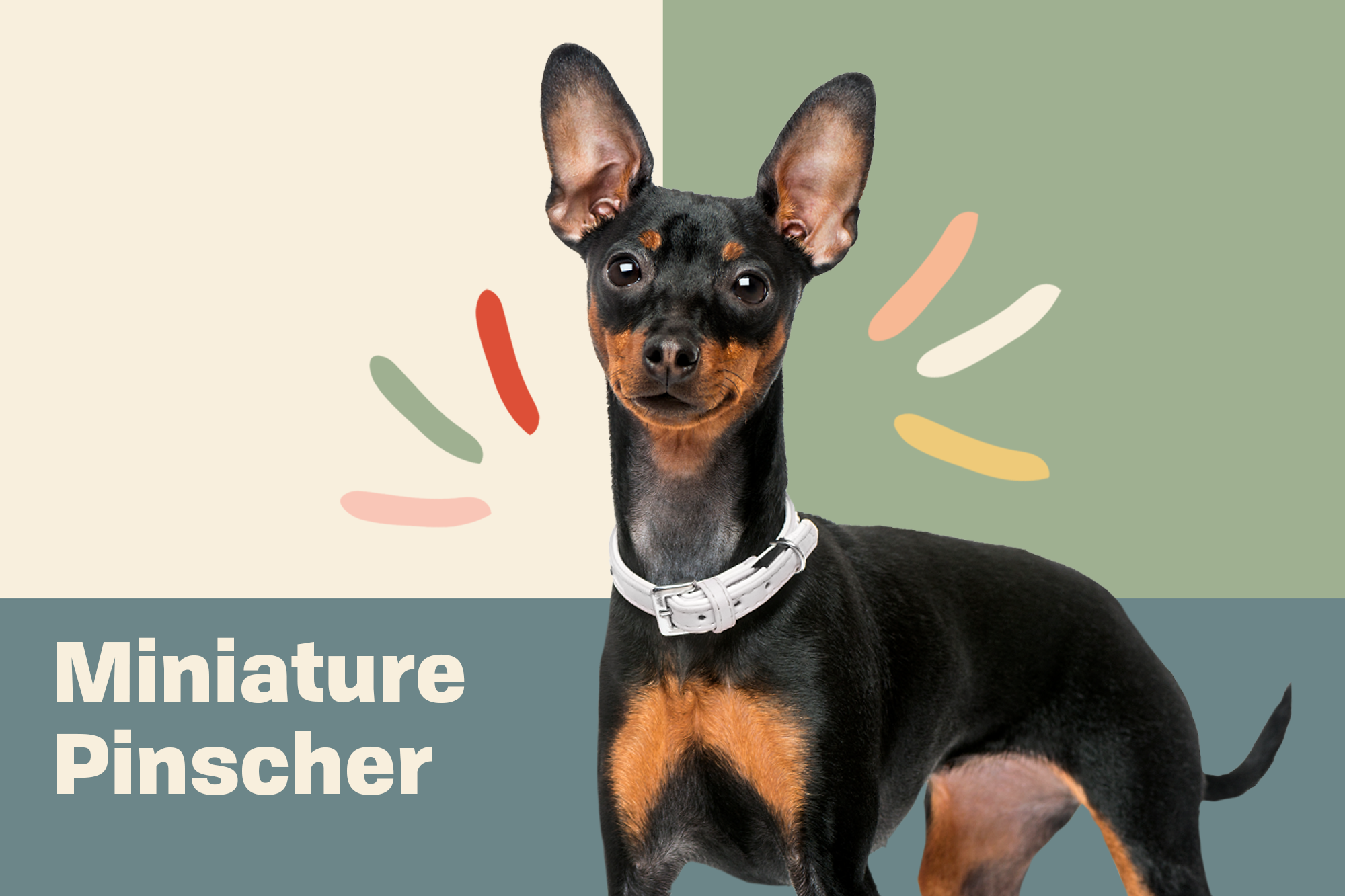 Miniature Pinscher Breed Photo