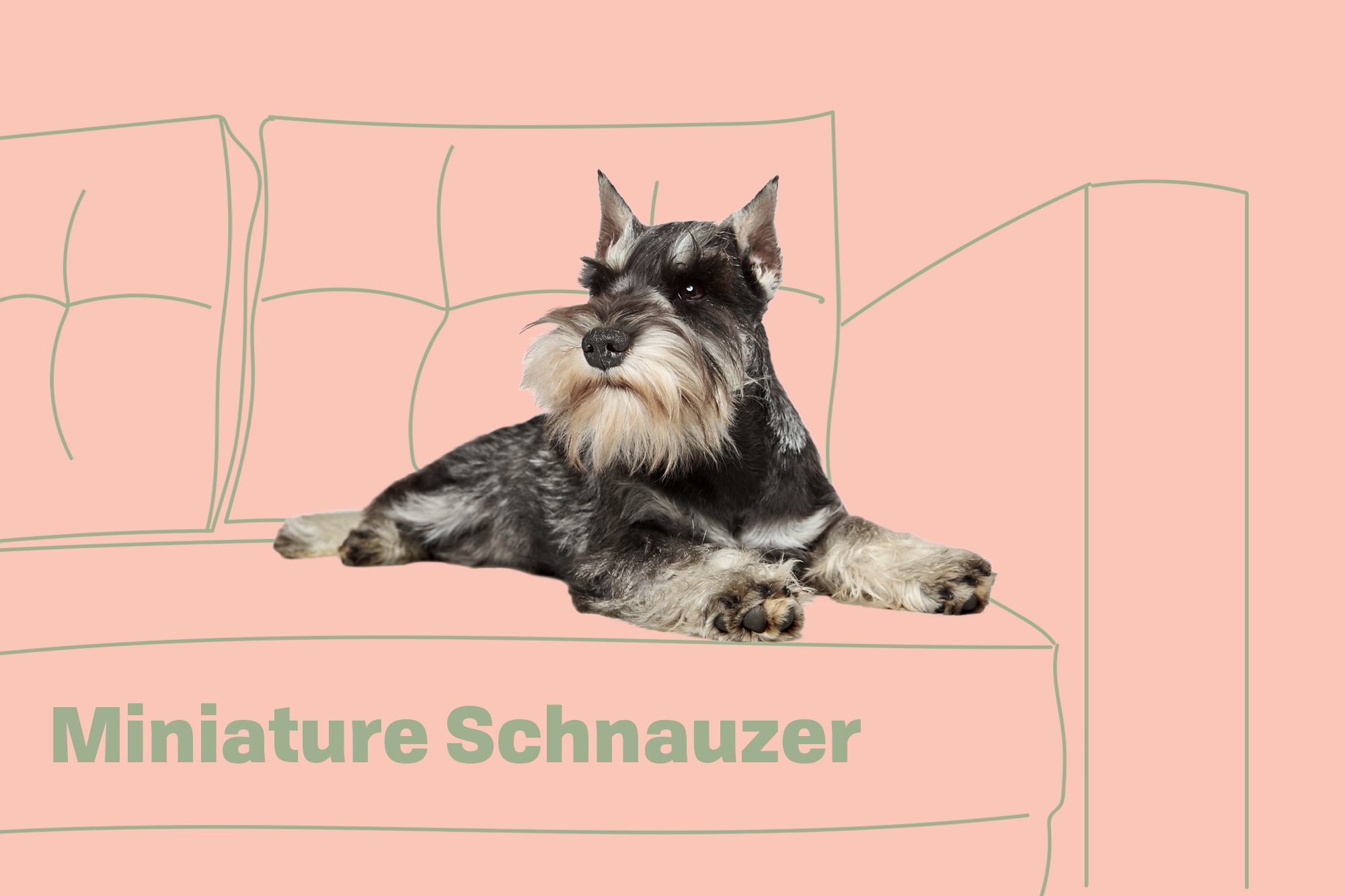 Miniature Schnauzer Breed photo