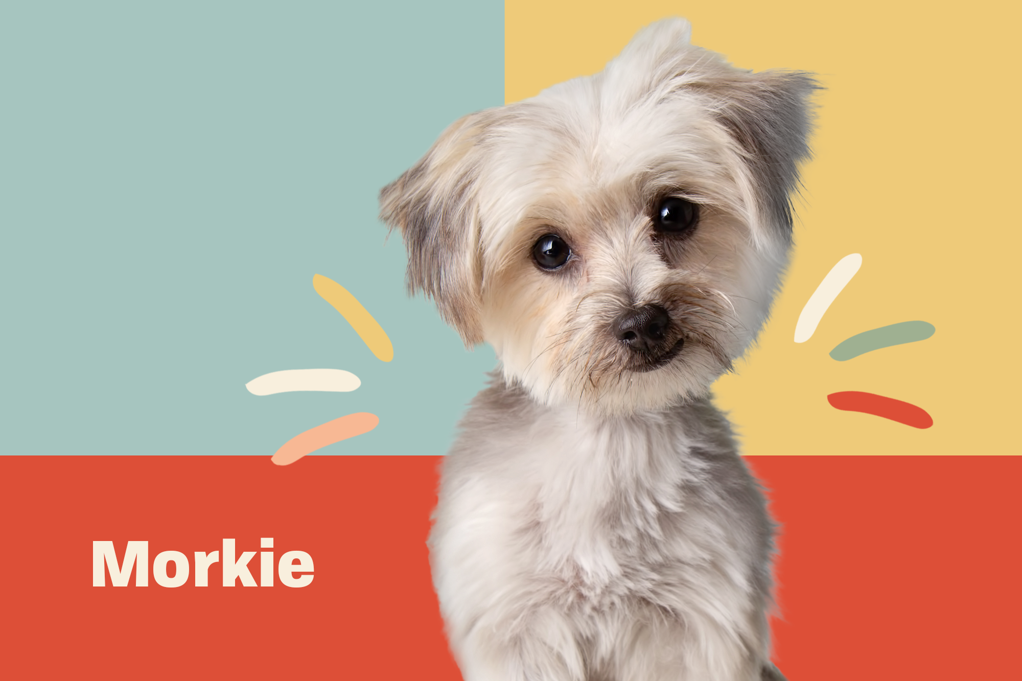 Morkie Breed Photo
