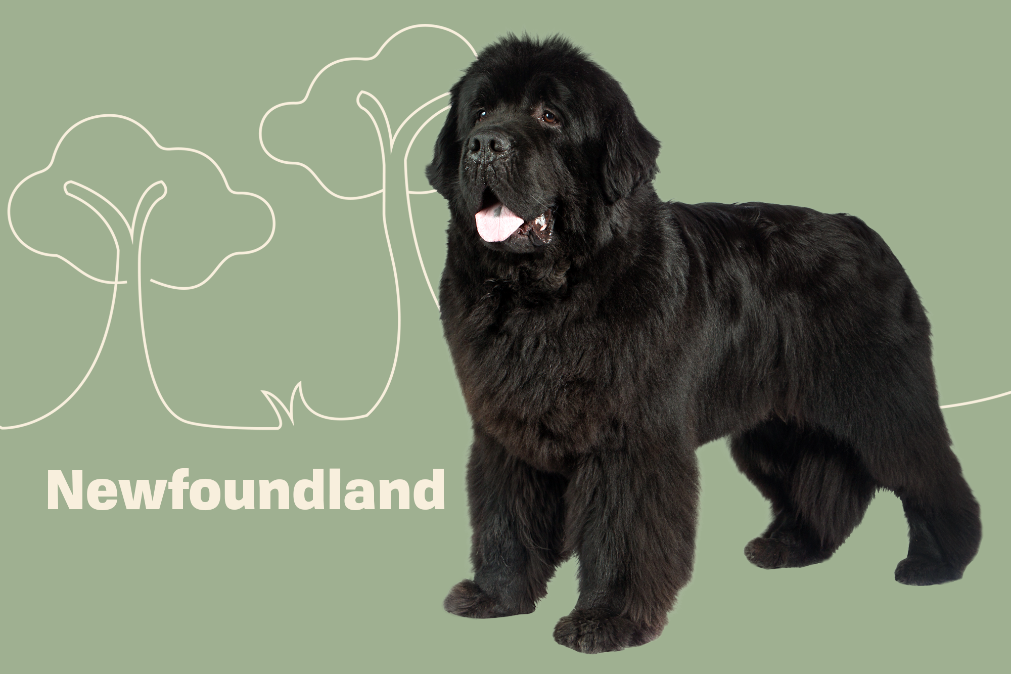 Newfoundland Breed Photo