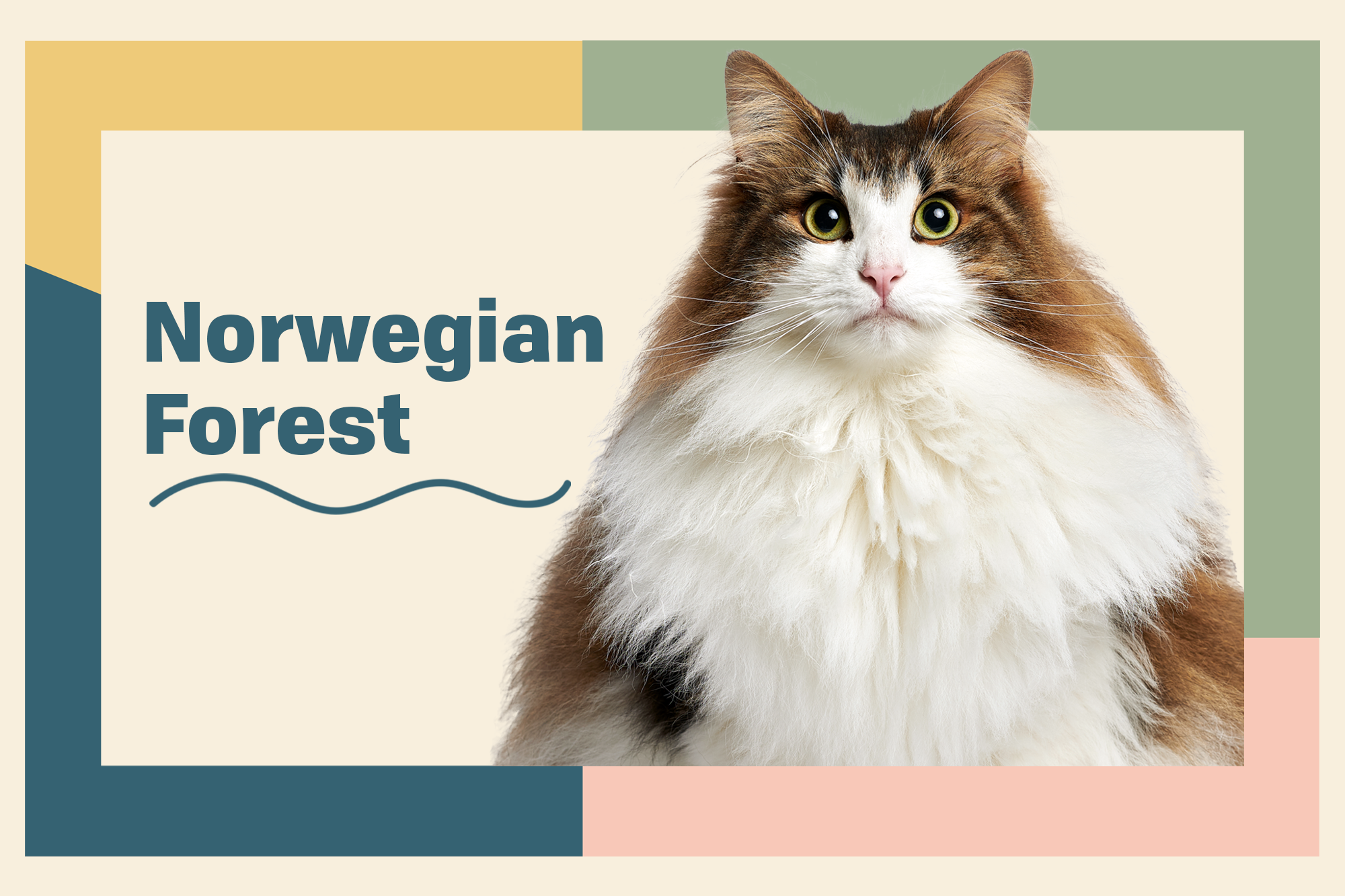 Norwegian Forest Cat Breed Photo