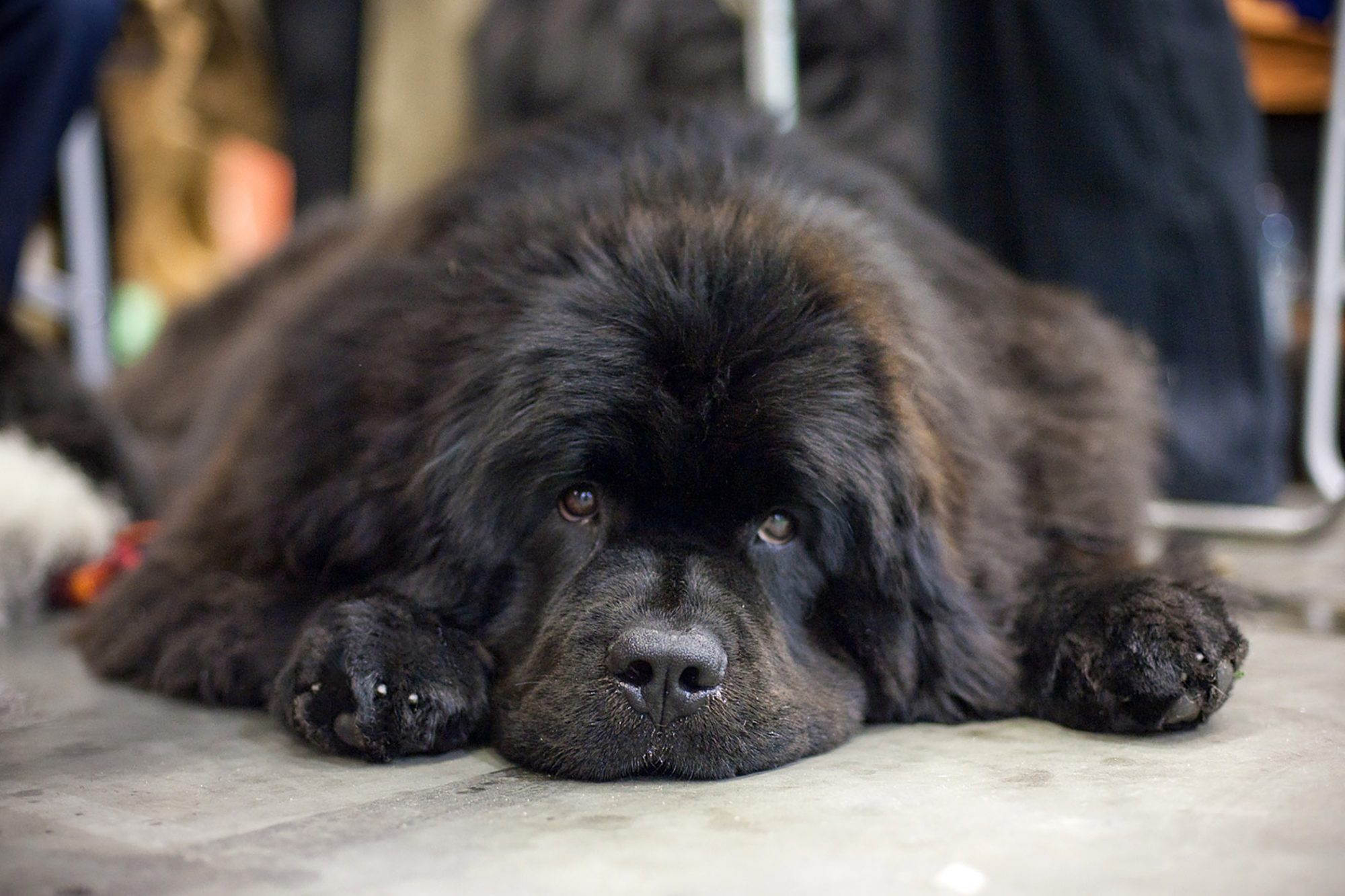 black newfoundland lying down on sidewalk