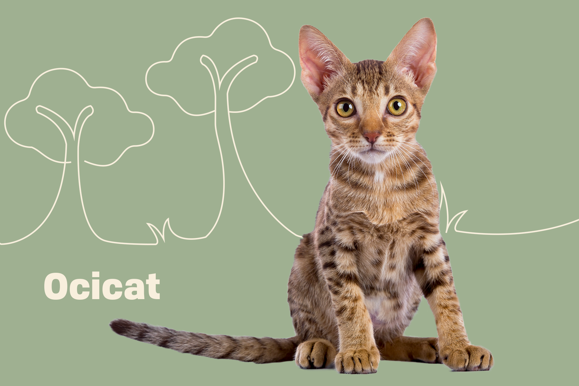 Ocicat Breed Photo