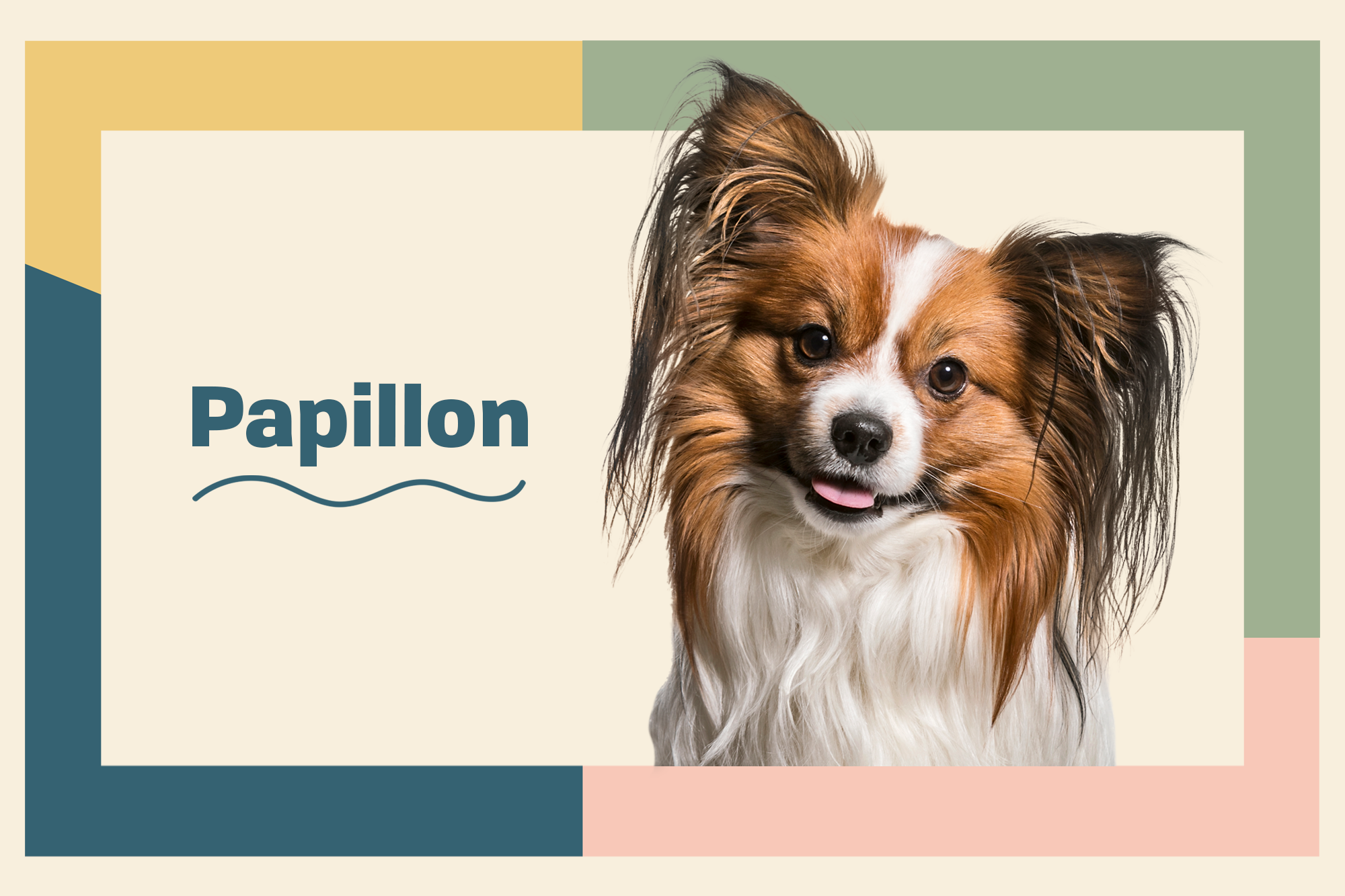 Papillon Breed Photo