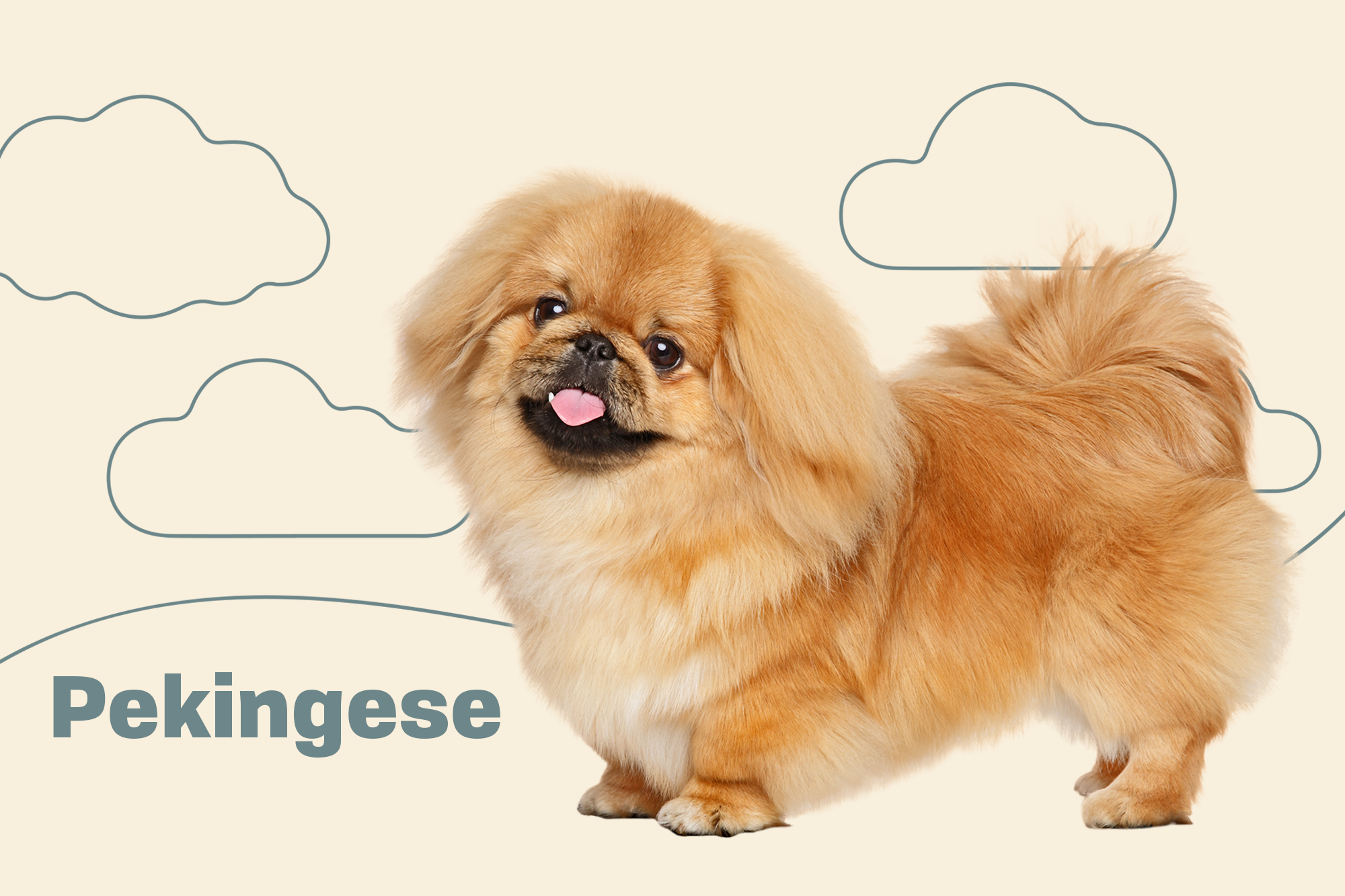 Pekingese Breed Photo