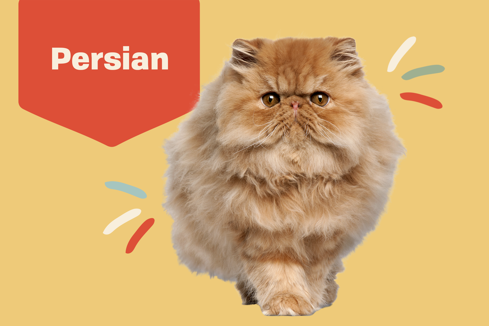 Persian Breed Photo