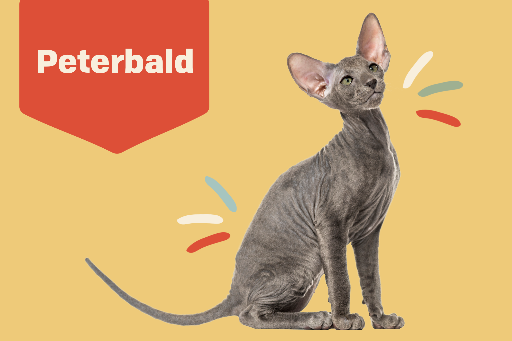 Peterbald Breed Photo