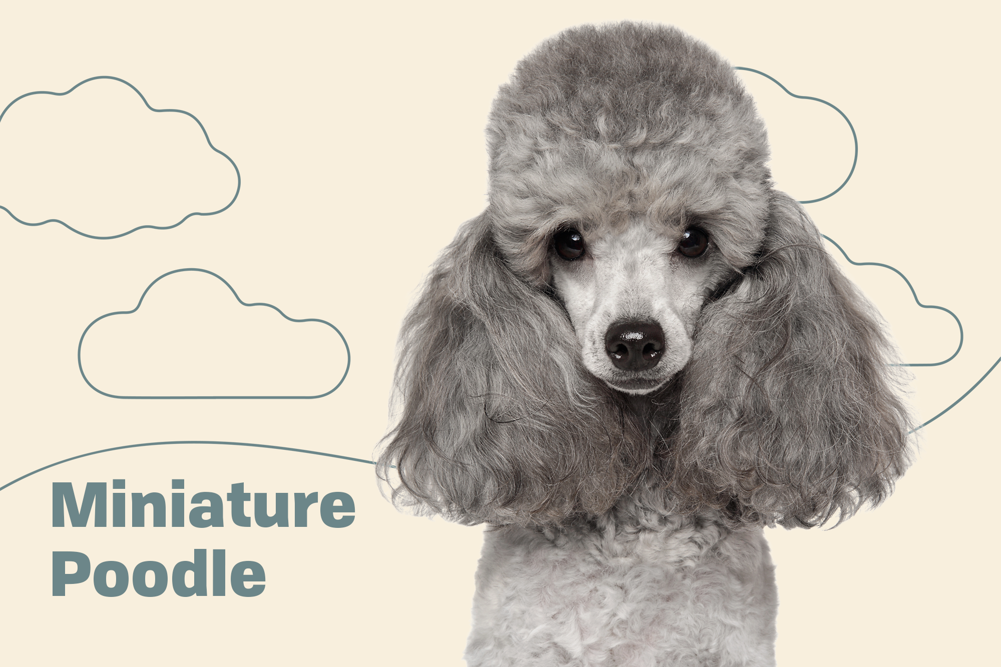 Poodle Miniature Breed Photo