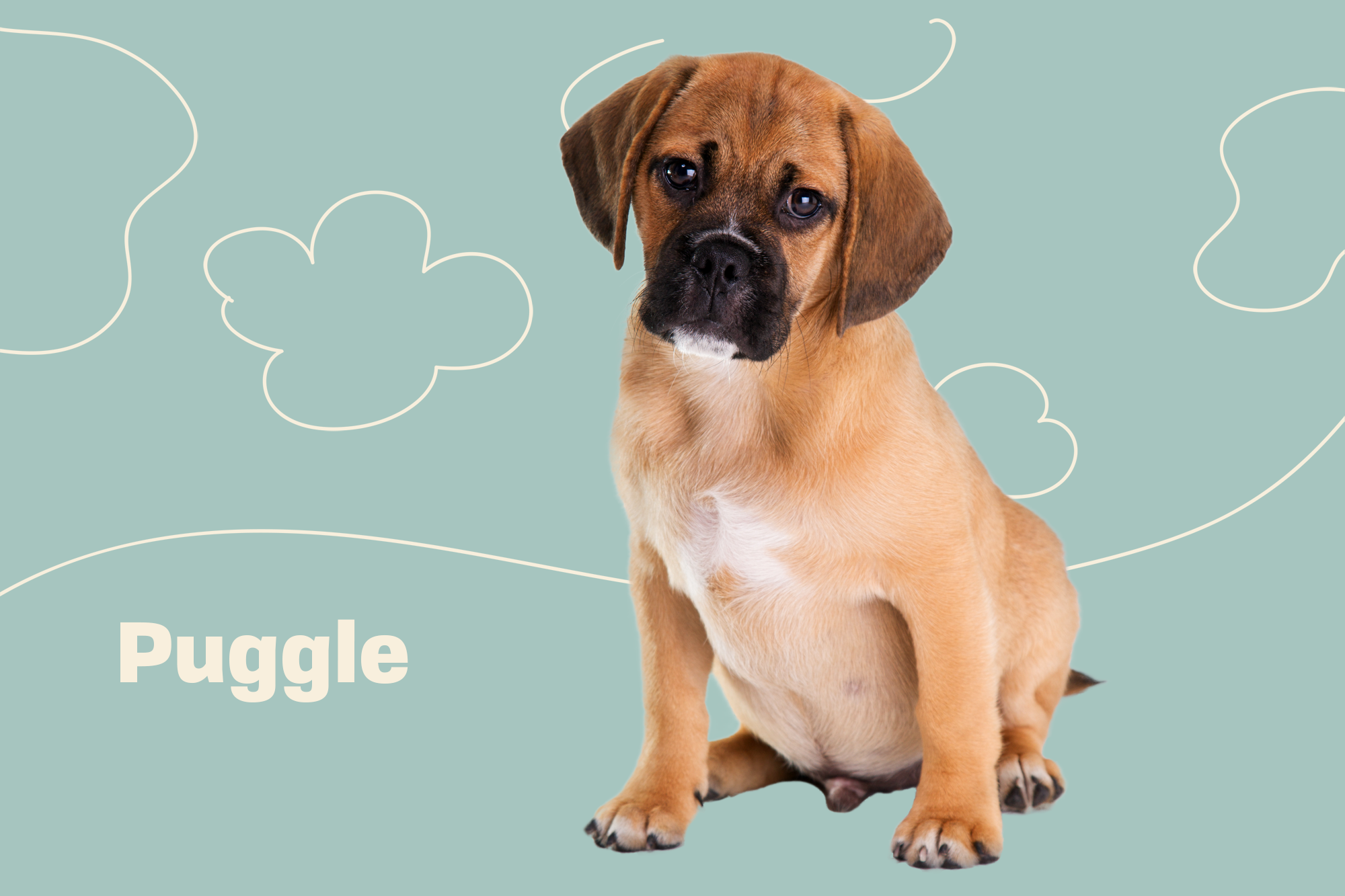 Puggle Breed Photo