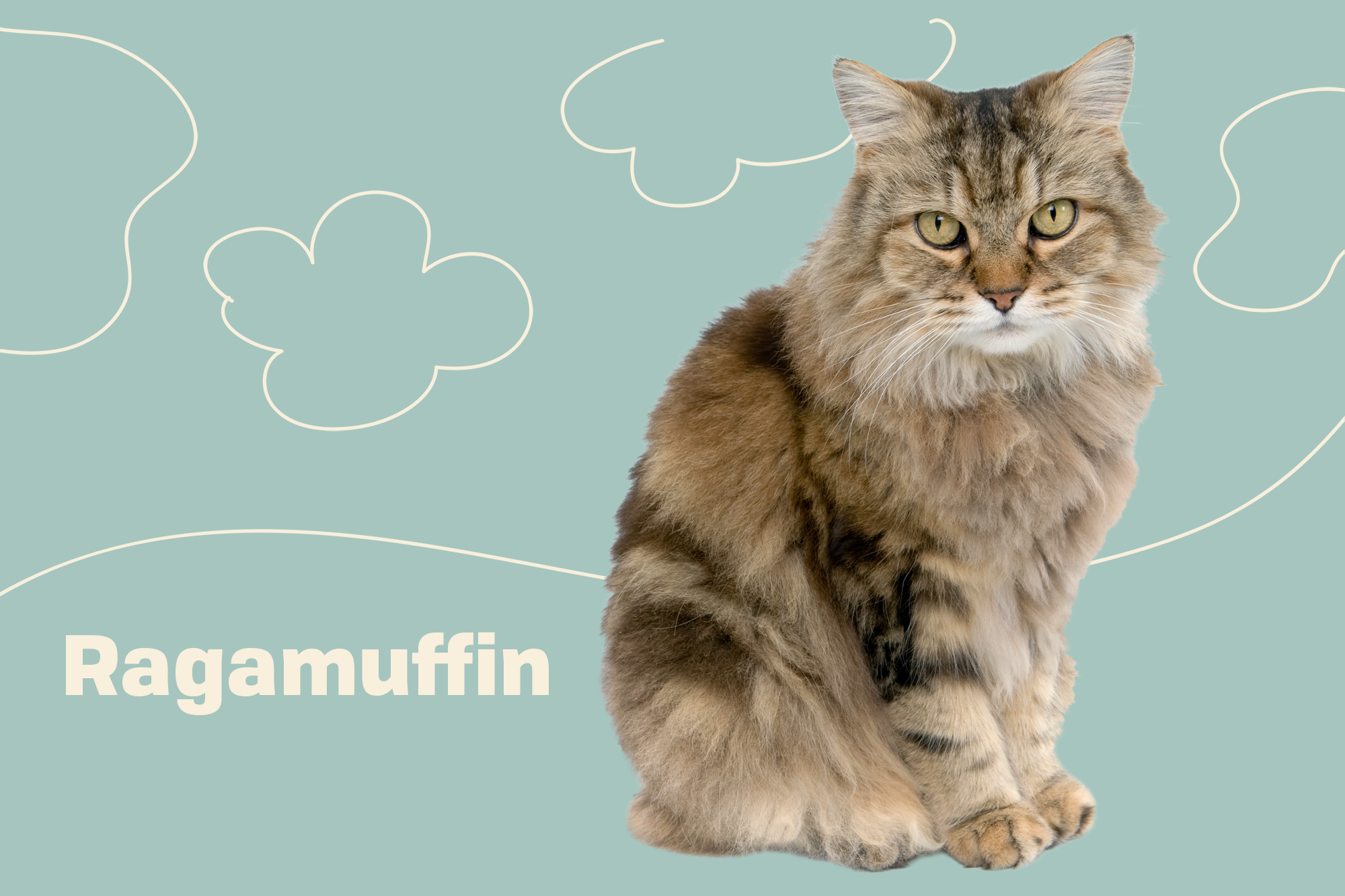 Ragamuffin Breed Photo