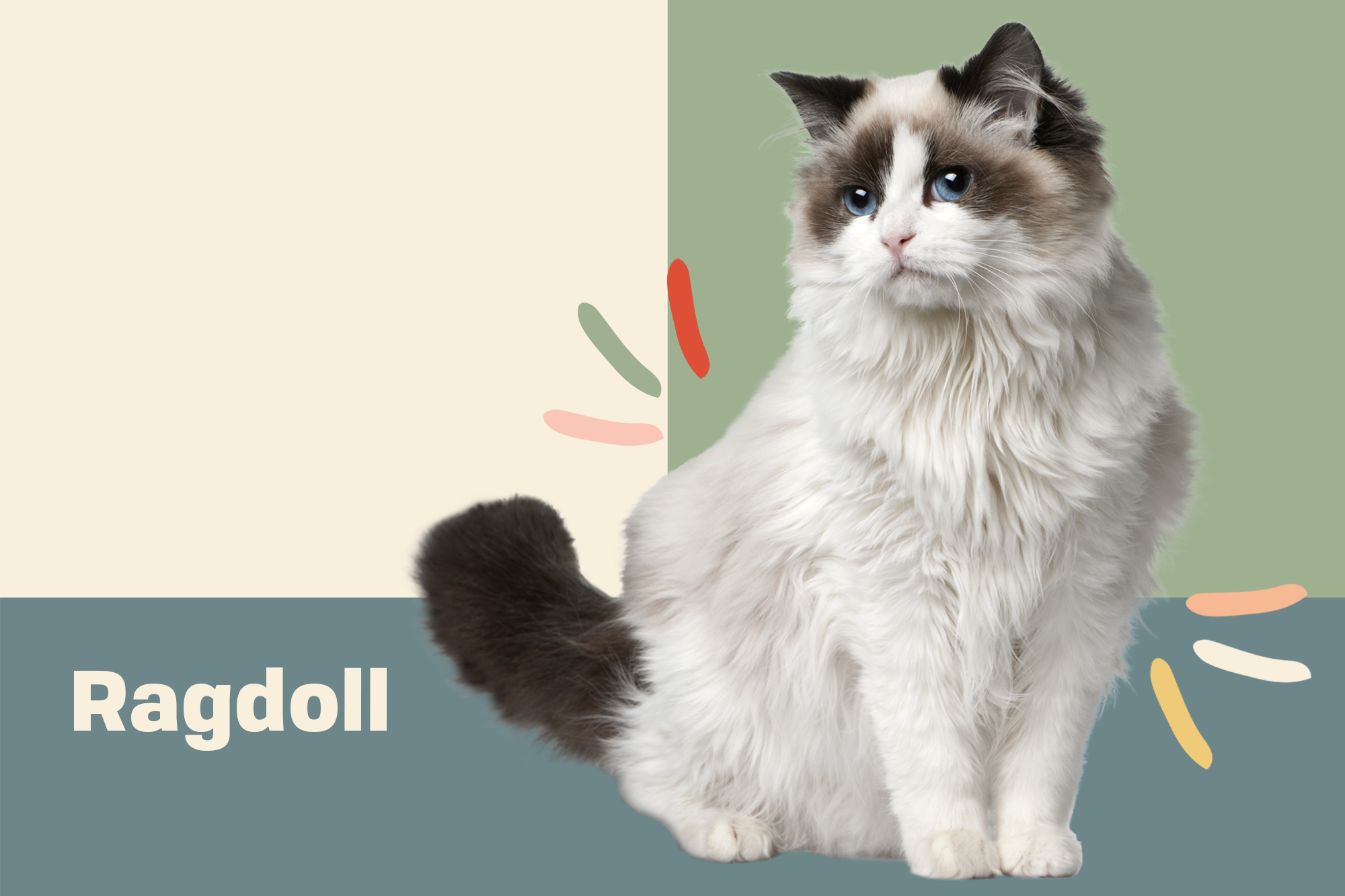 Ragdoll Breed Photo