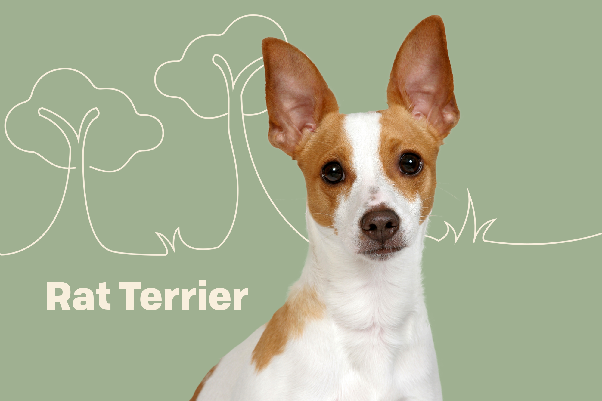 Rat Terrier Breed Photo