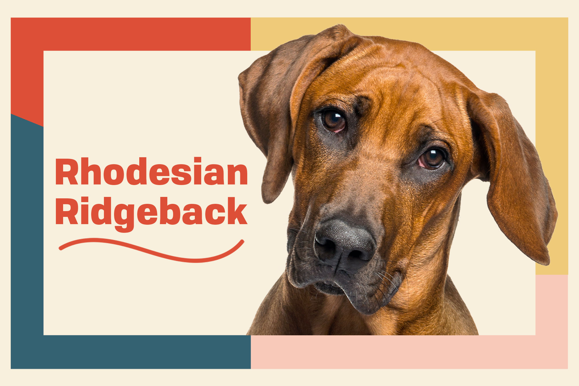 Rhodesian Ridgeback Breed Photo