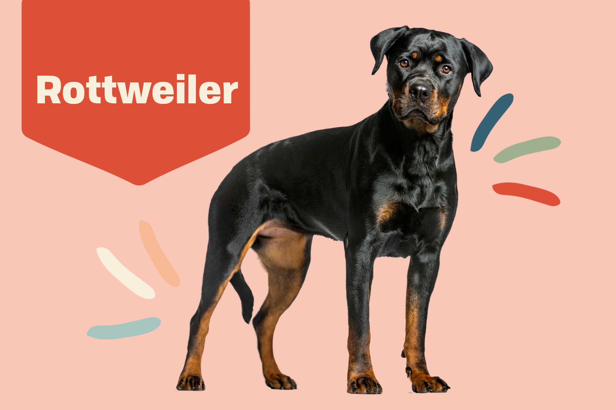 Rottweiler Breed Photo