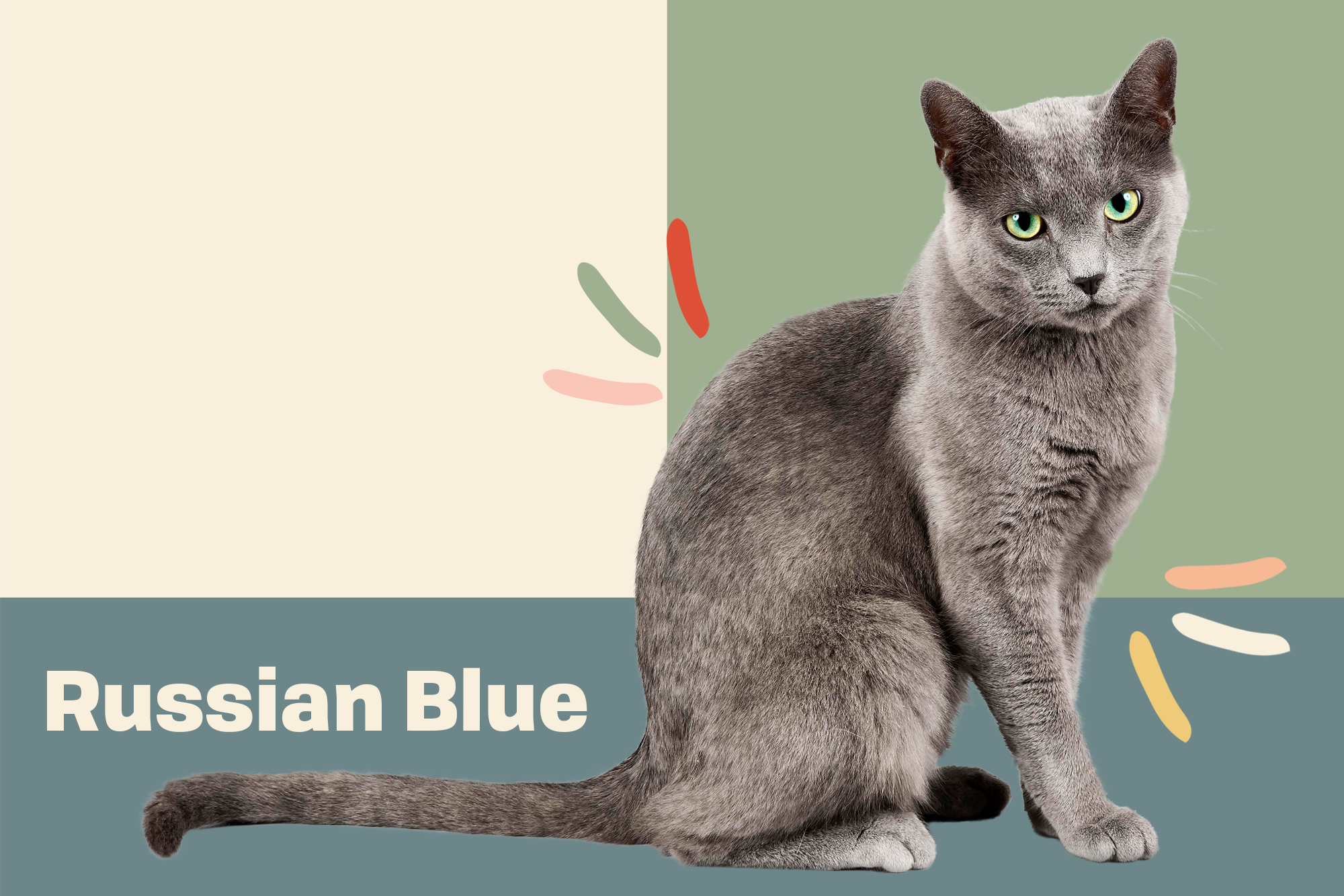 Russian Blue Breed Photo
