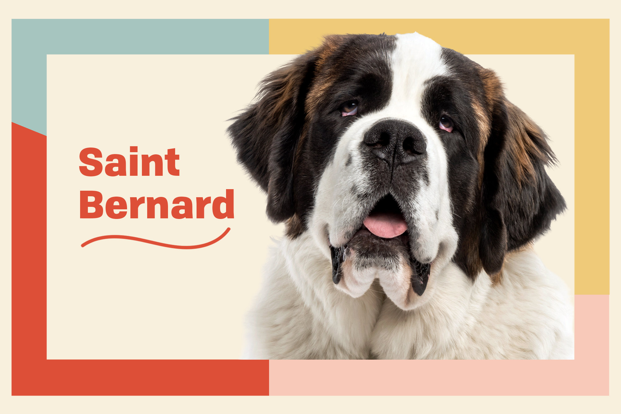 Saint Bernard Breed Photo