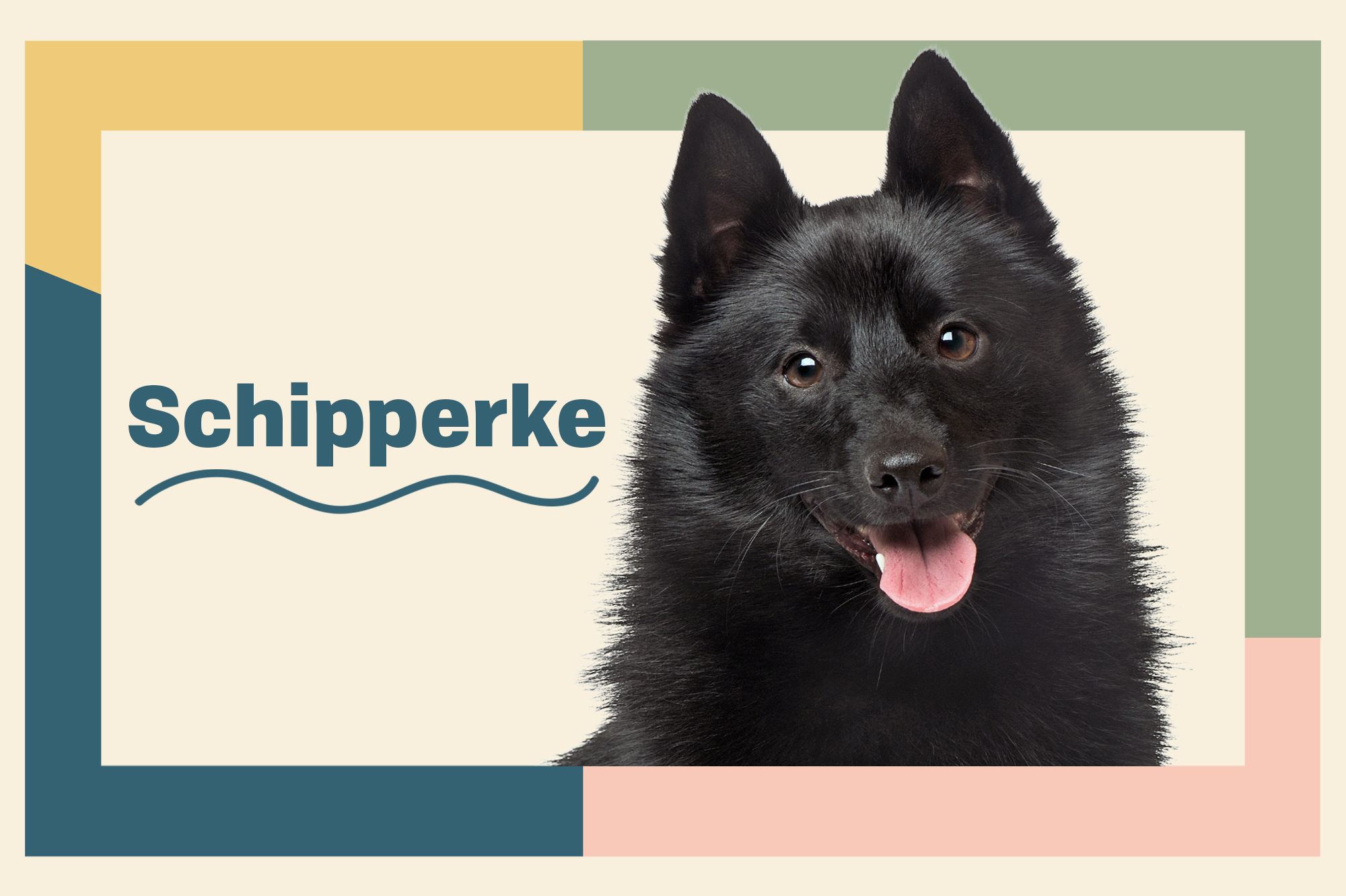 Schipperke Breed Photo