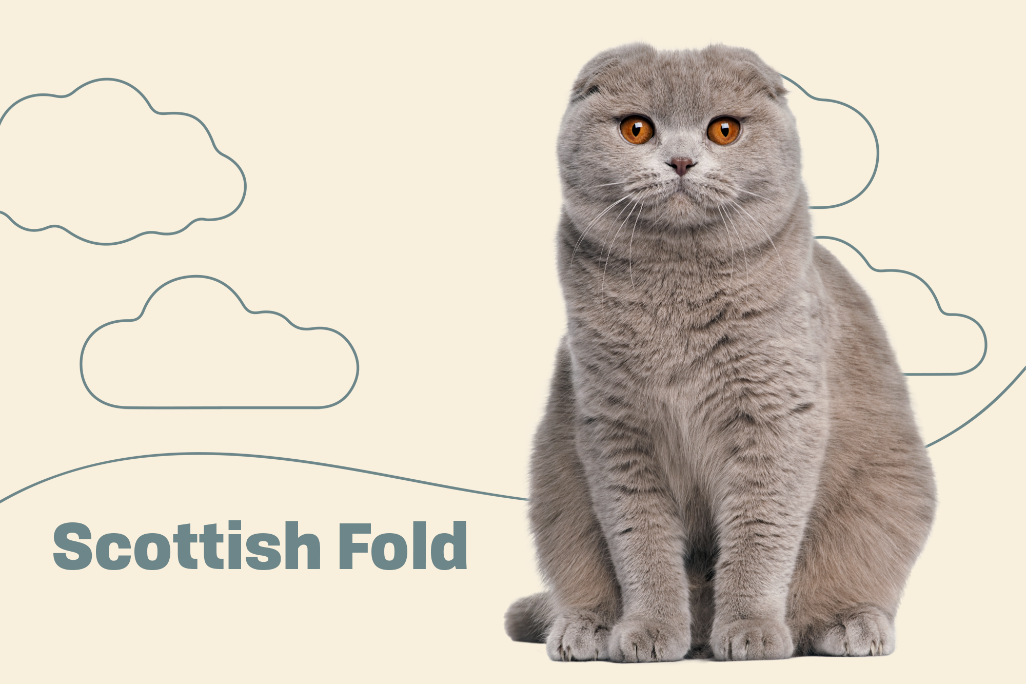Scottish Fold Breed Photo
