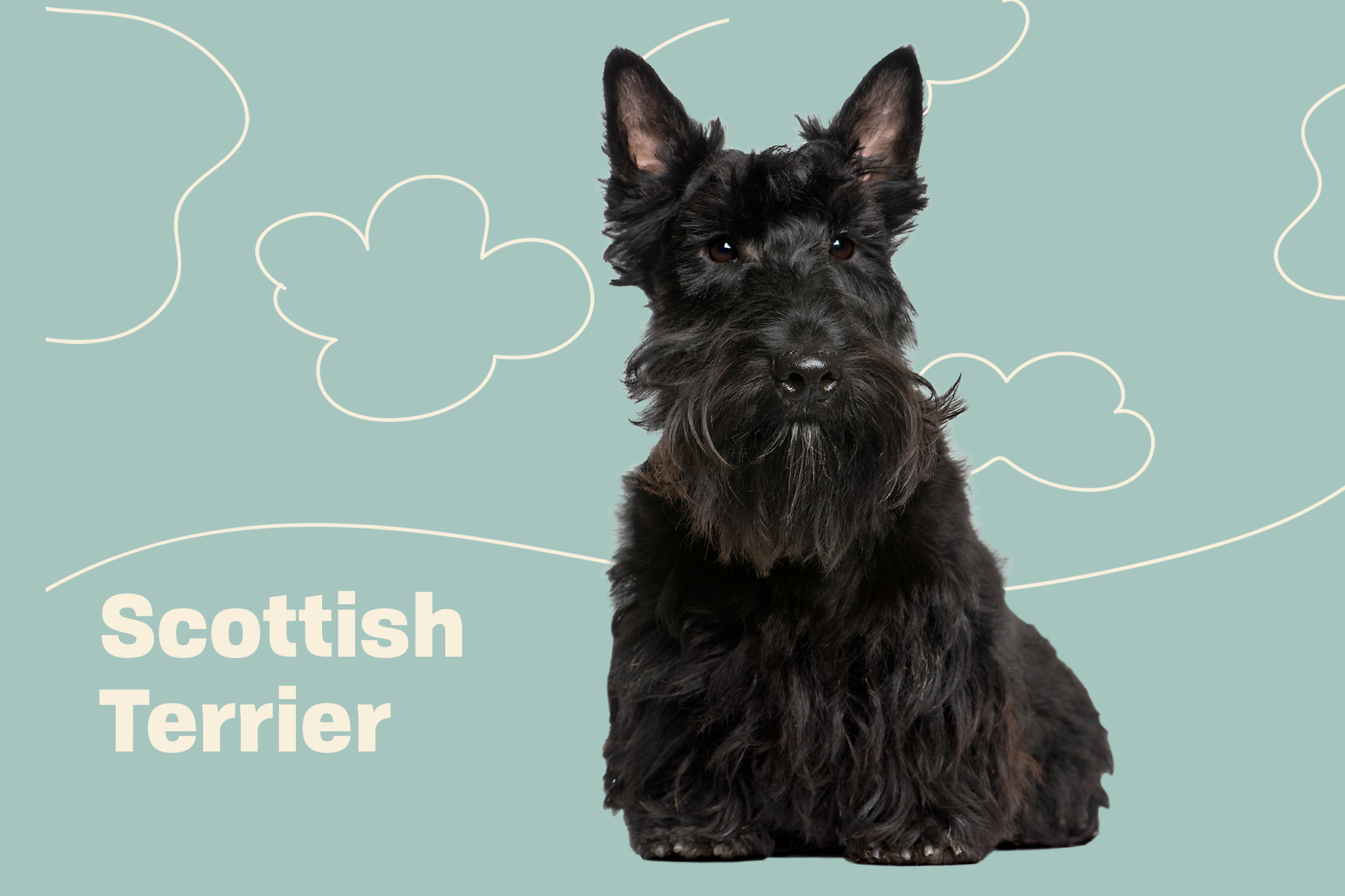 Scottish Terrier Breed Photo