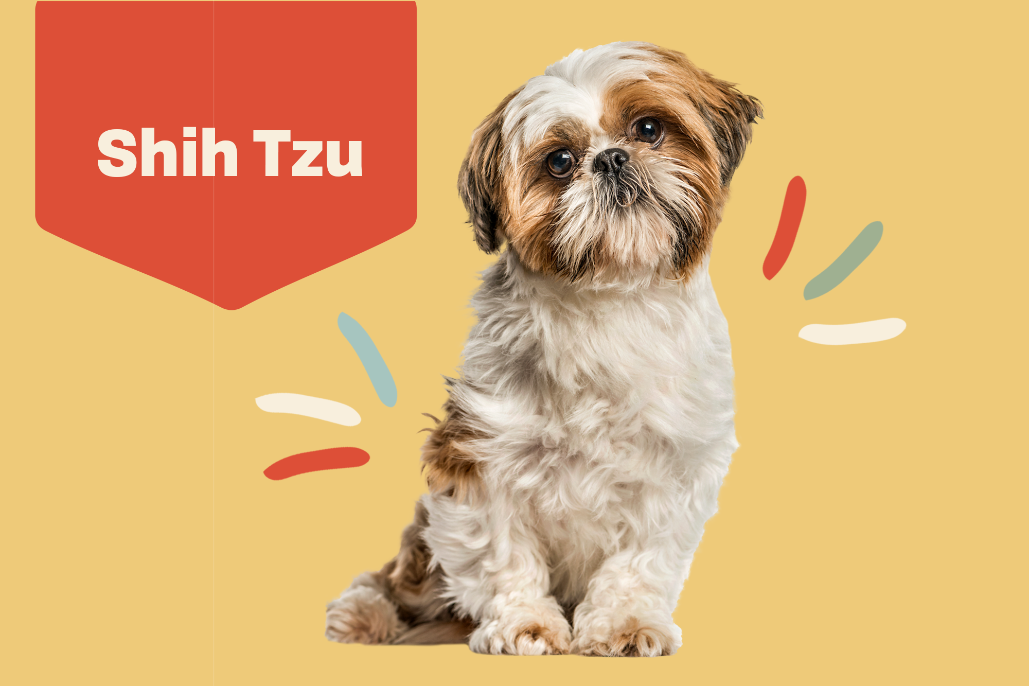 Shih Tzu Breed Photo