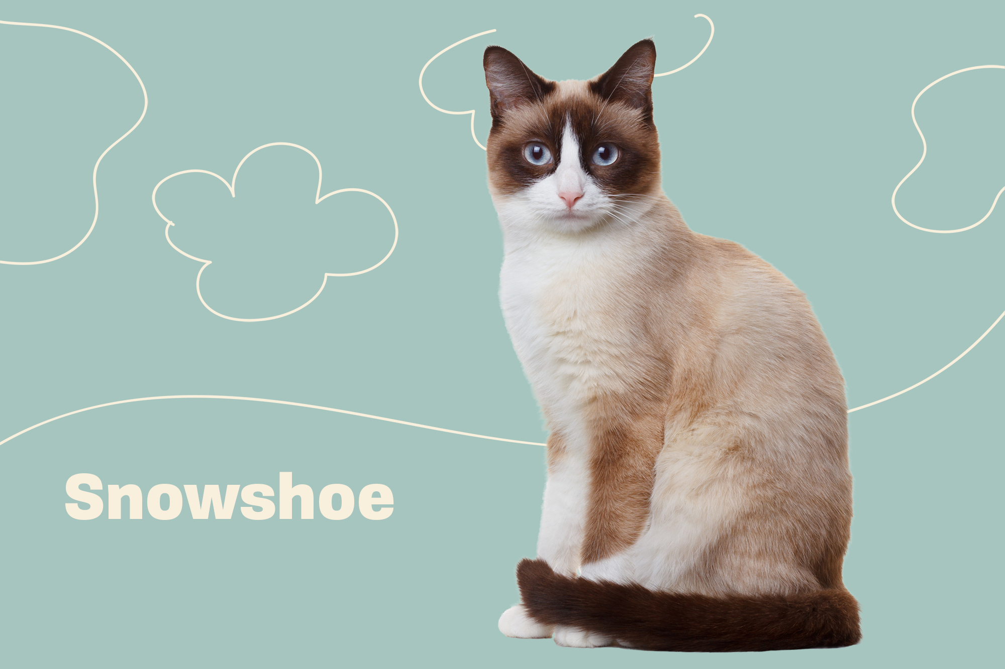 Snowshoe Breed Photo