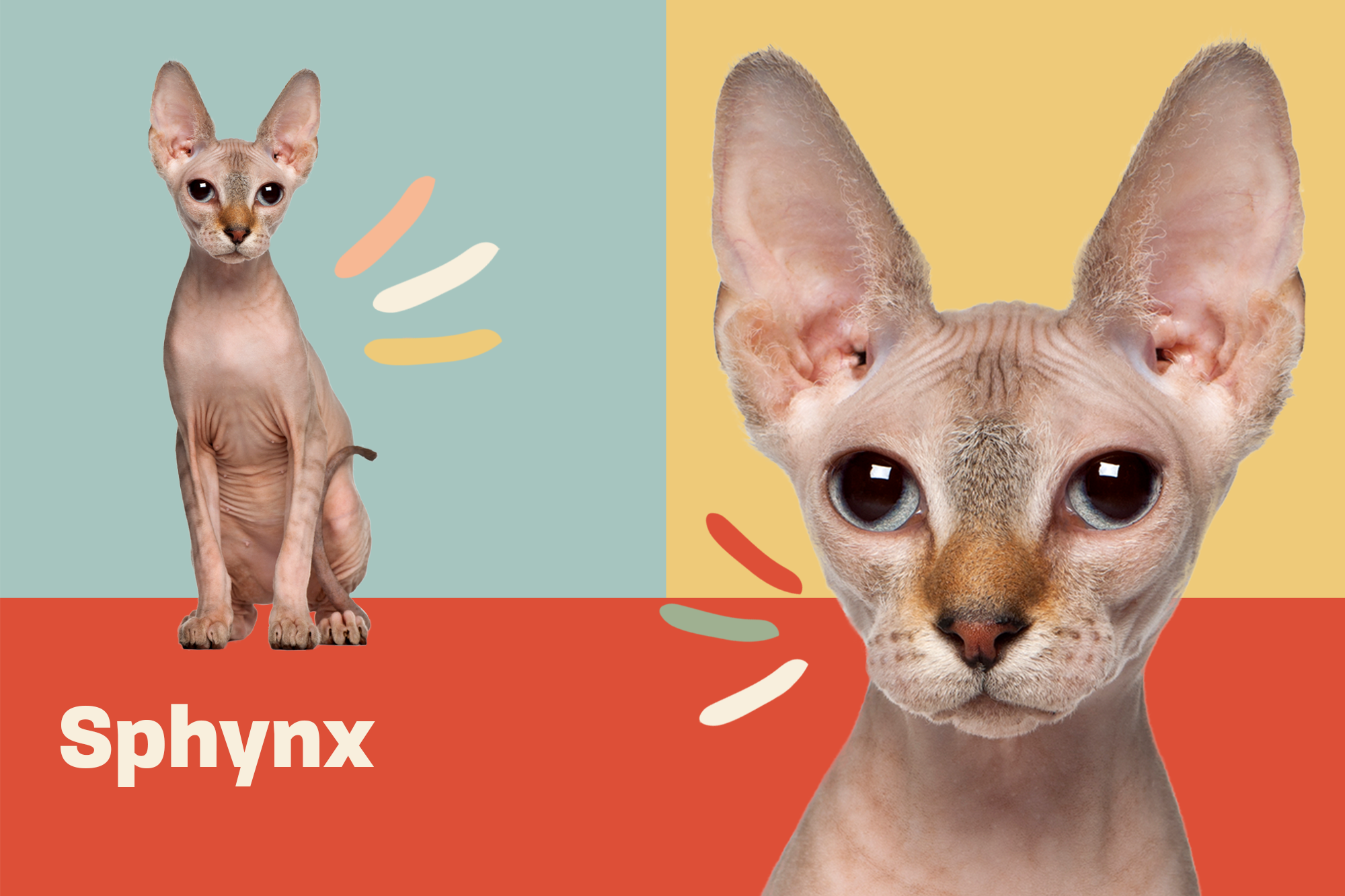 Sphynx Breed Photo