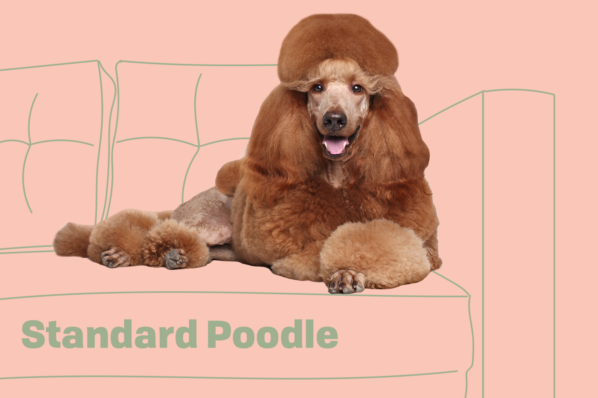 Standard Poodle Breed Photo