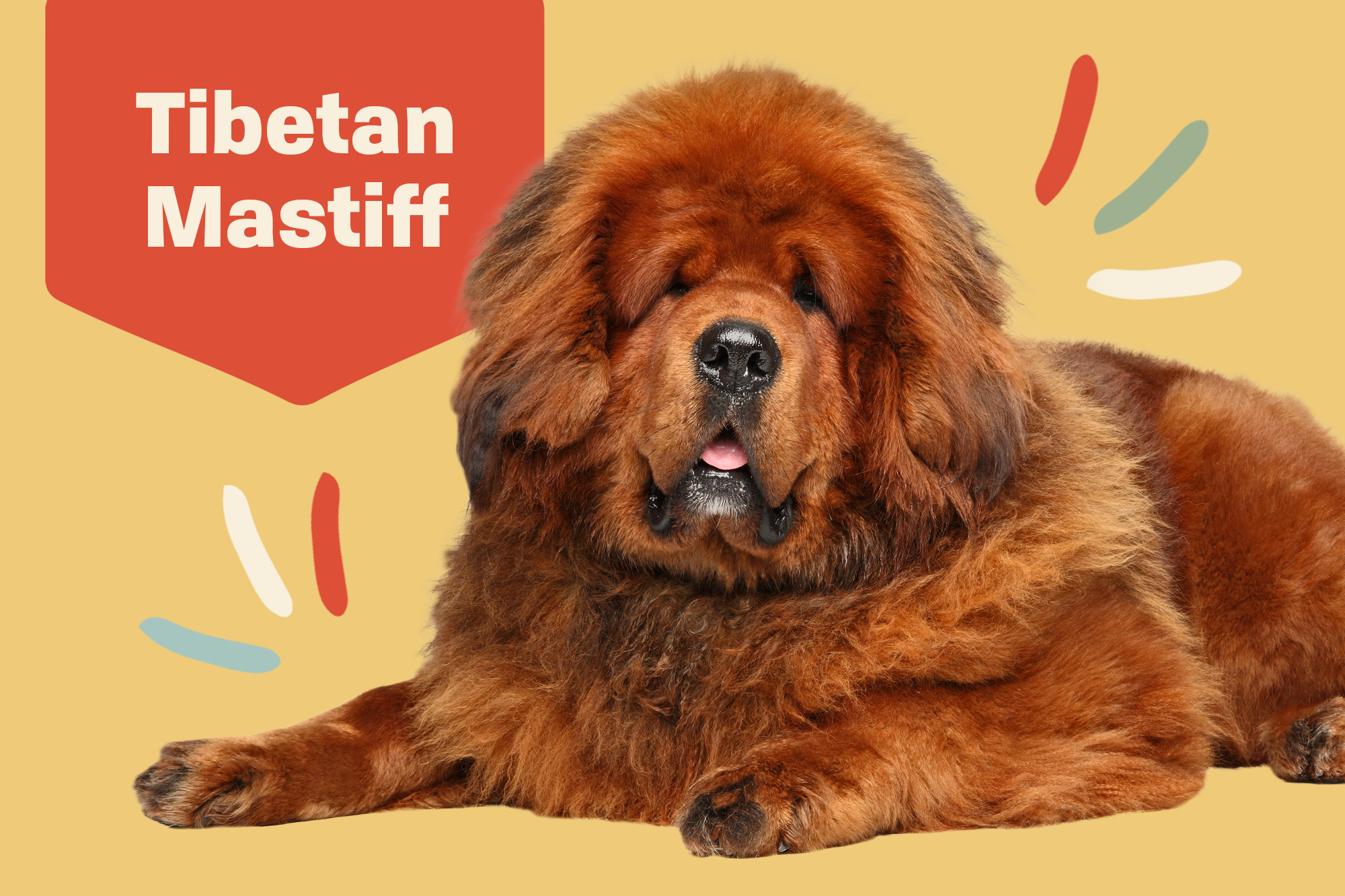 Tibetan Mastiff Breed Photo