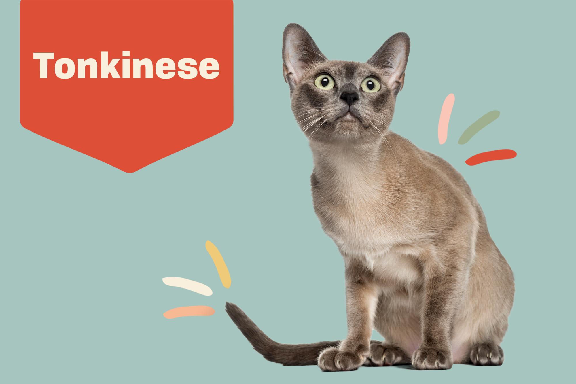 Tonkinese Breed Photo