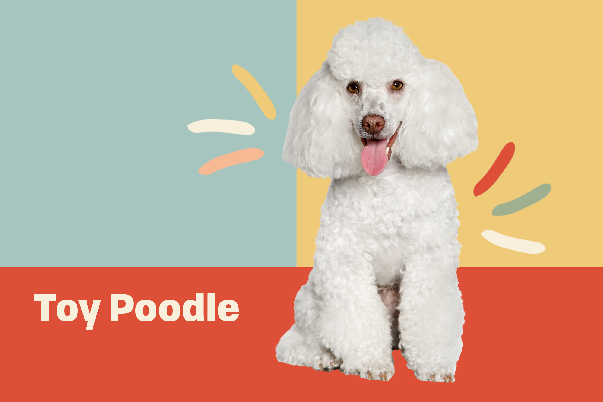 Toy Poodle Breed Photo