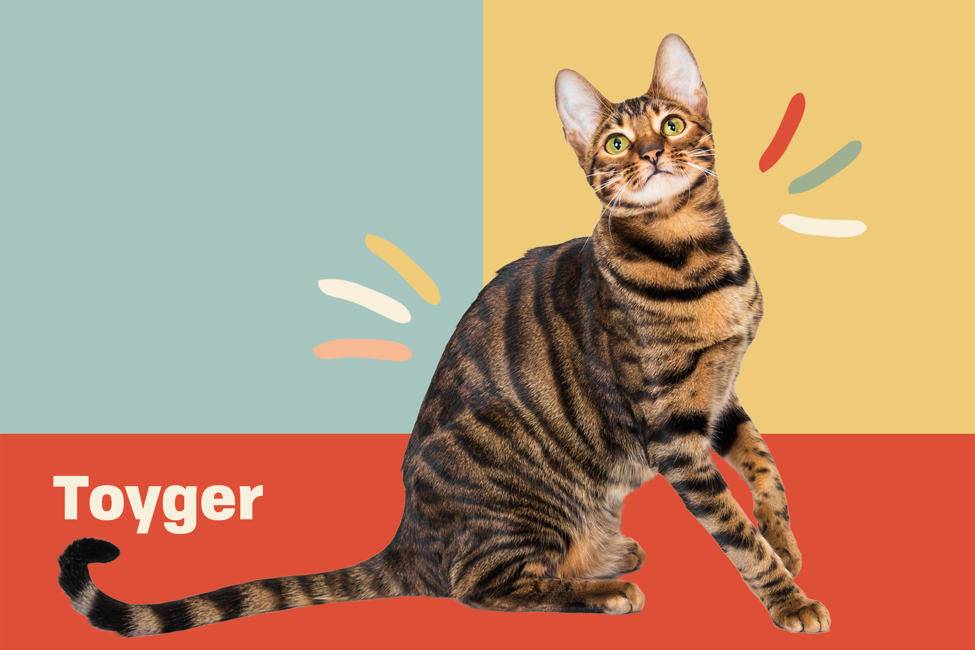 Toyger Breed Photo