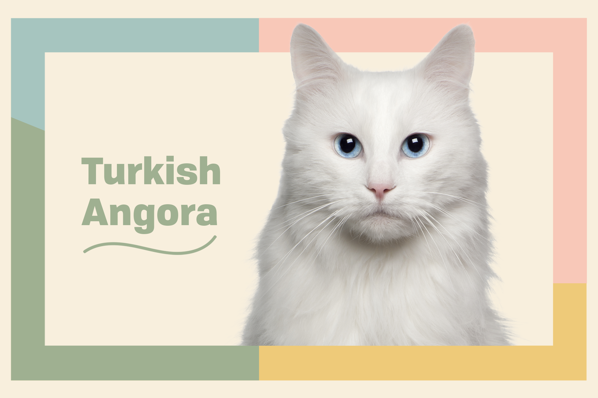 Turkish Angora Breed Photo