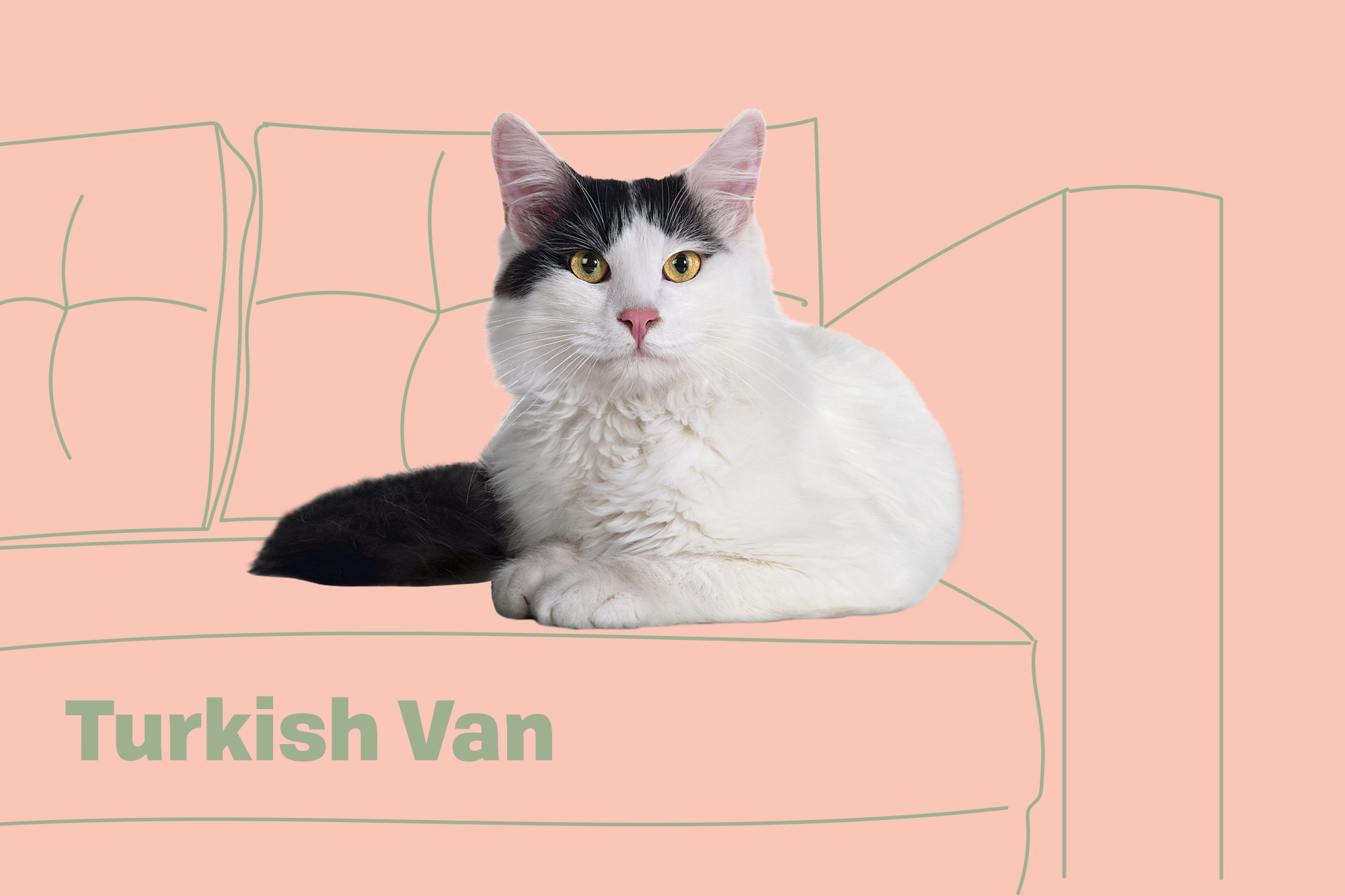 Turkish Van Breed Photo