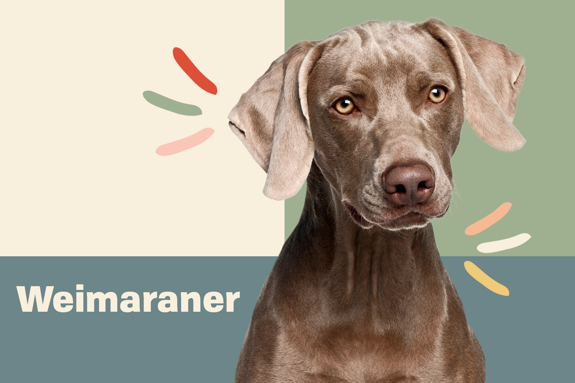 Weimaraner Breed Photo