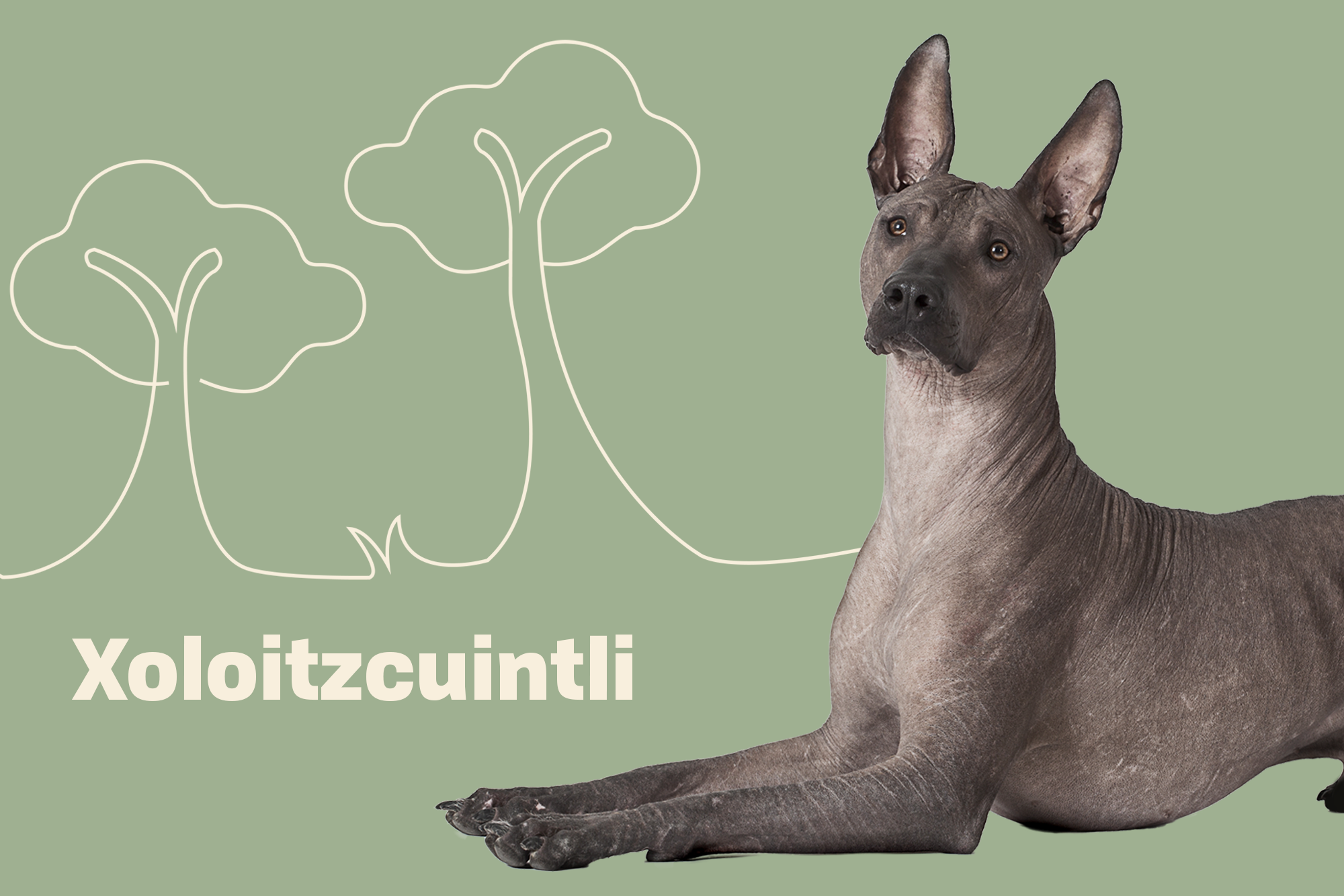 XOLOITZCUINTLI Breed Photo
