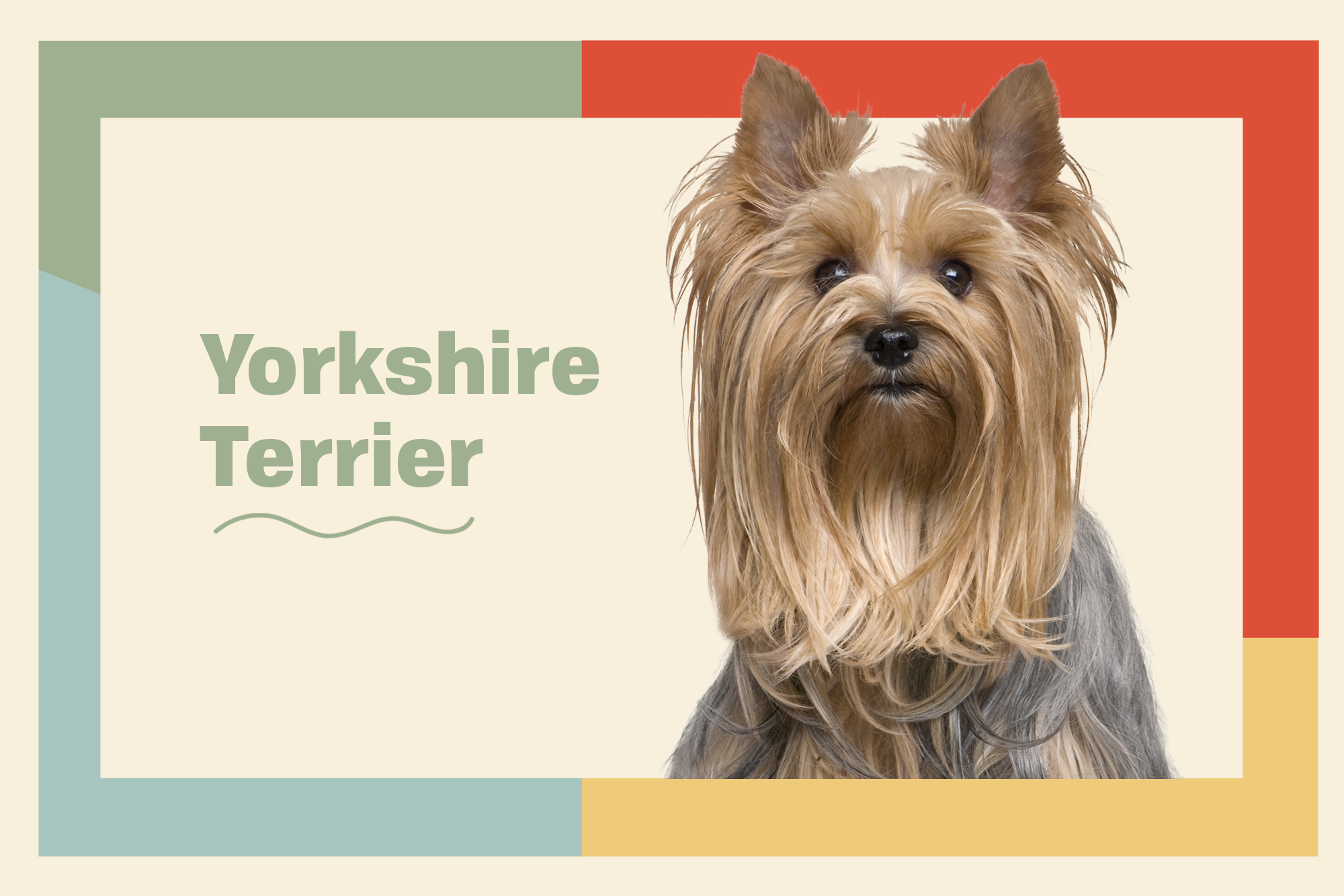 Yorkshire Terrier (Yorkie) Breed Photo