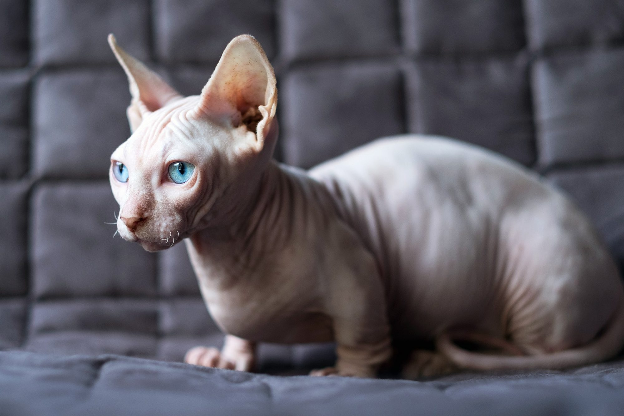 bambino hairless cat on couch