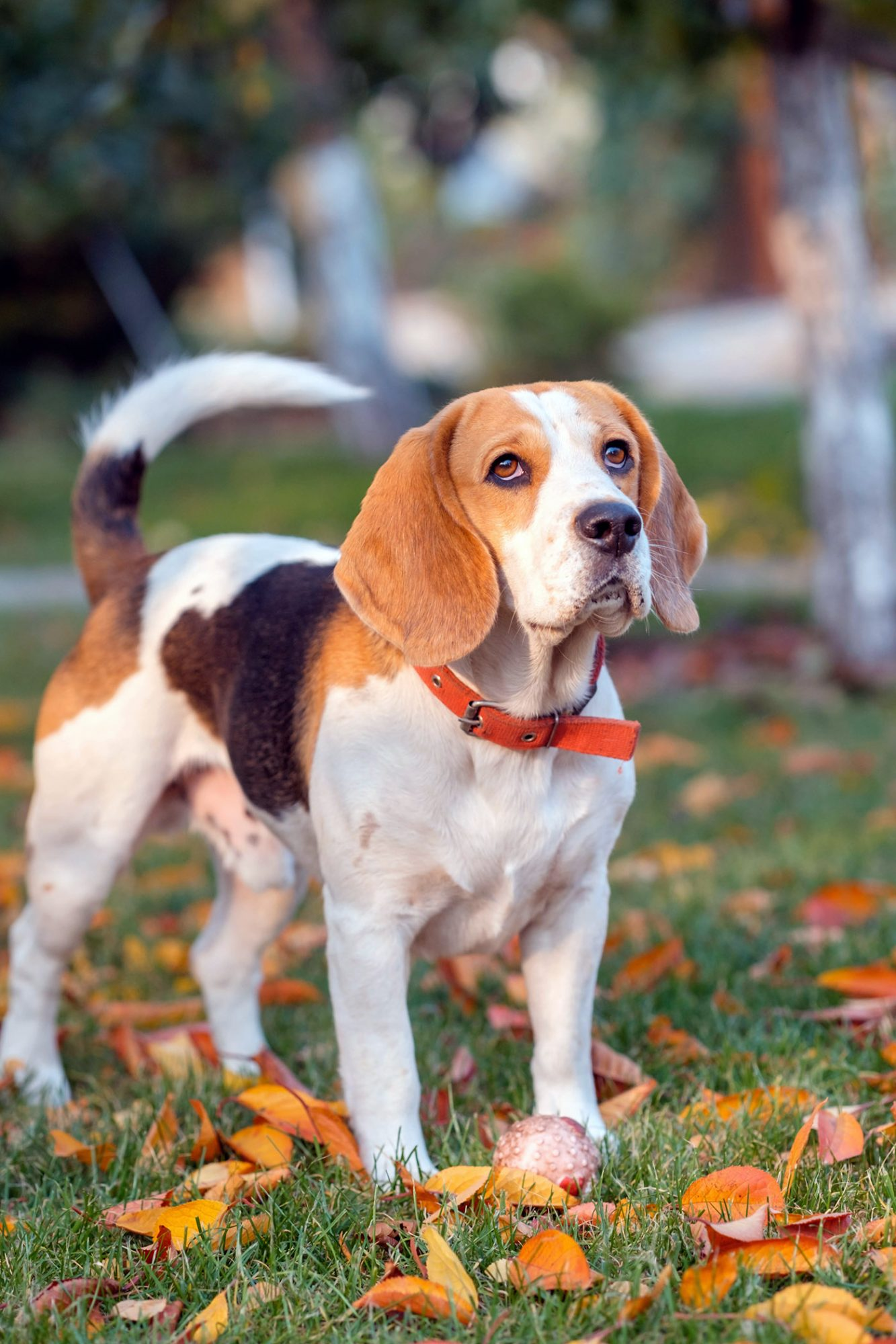 tri-color beagle standing on grass