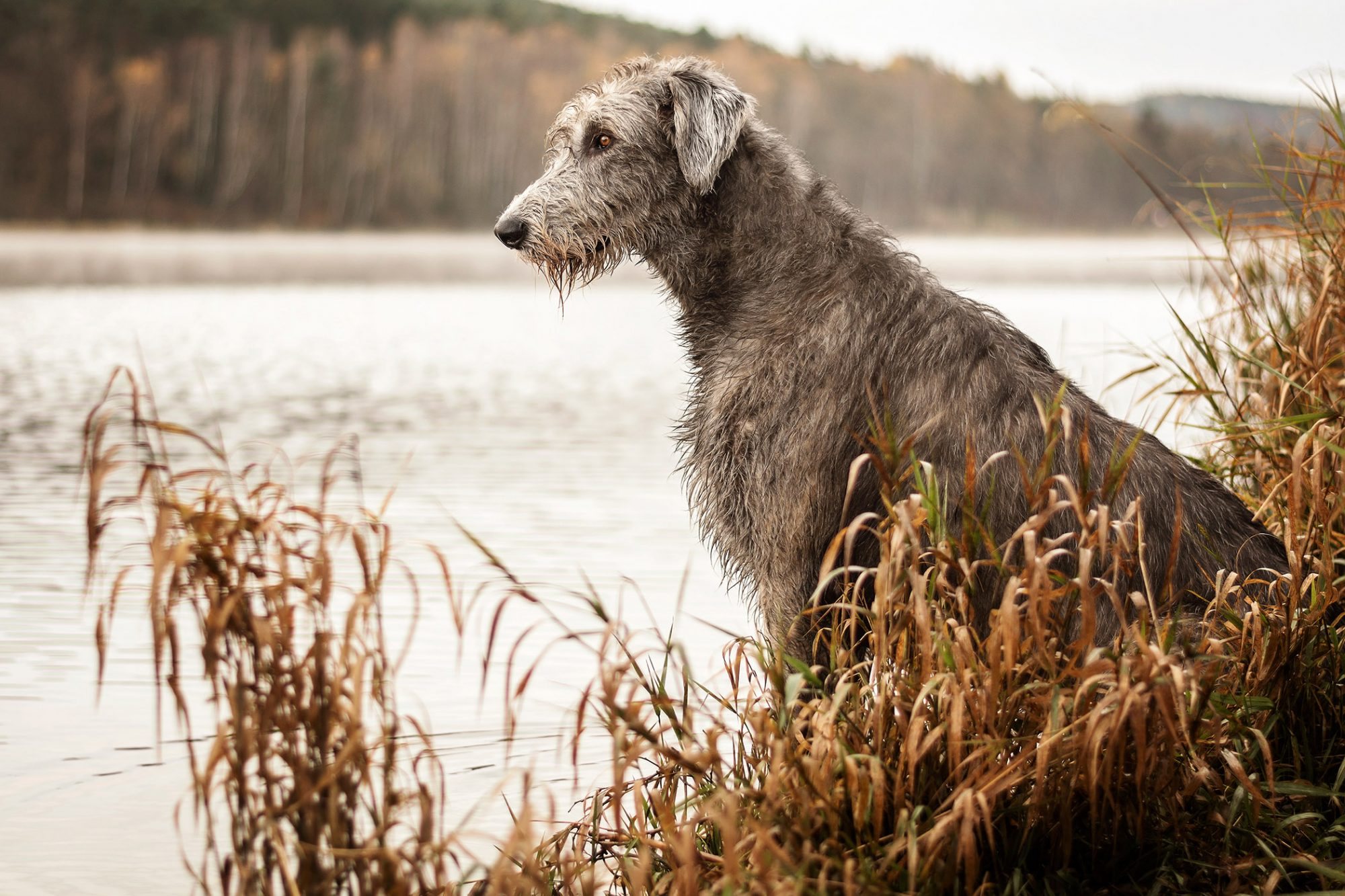 irish woflhound sitting on bank of river