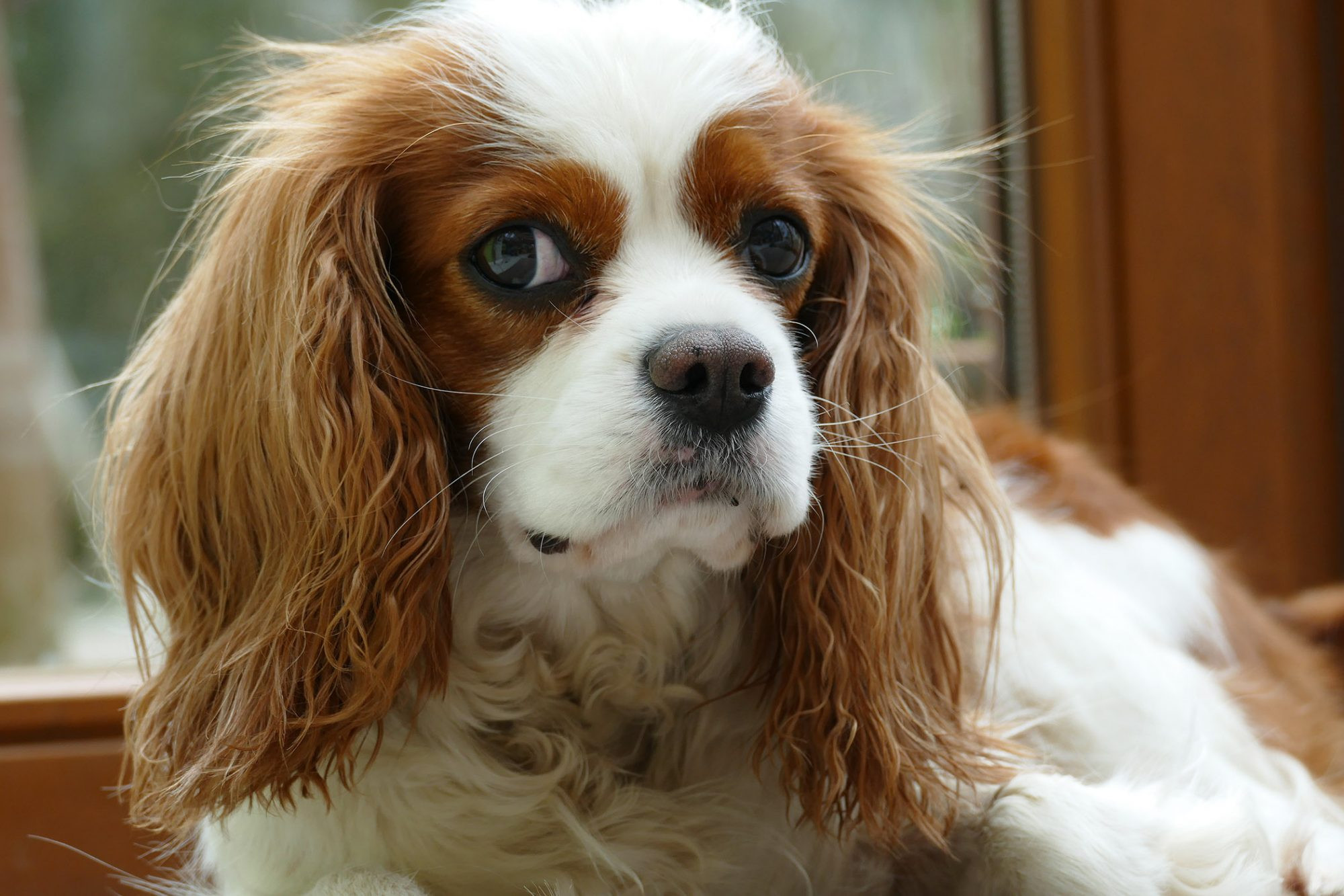 tan-and-white cavalier king charles spaniel closeup