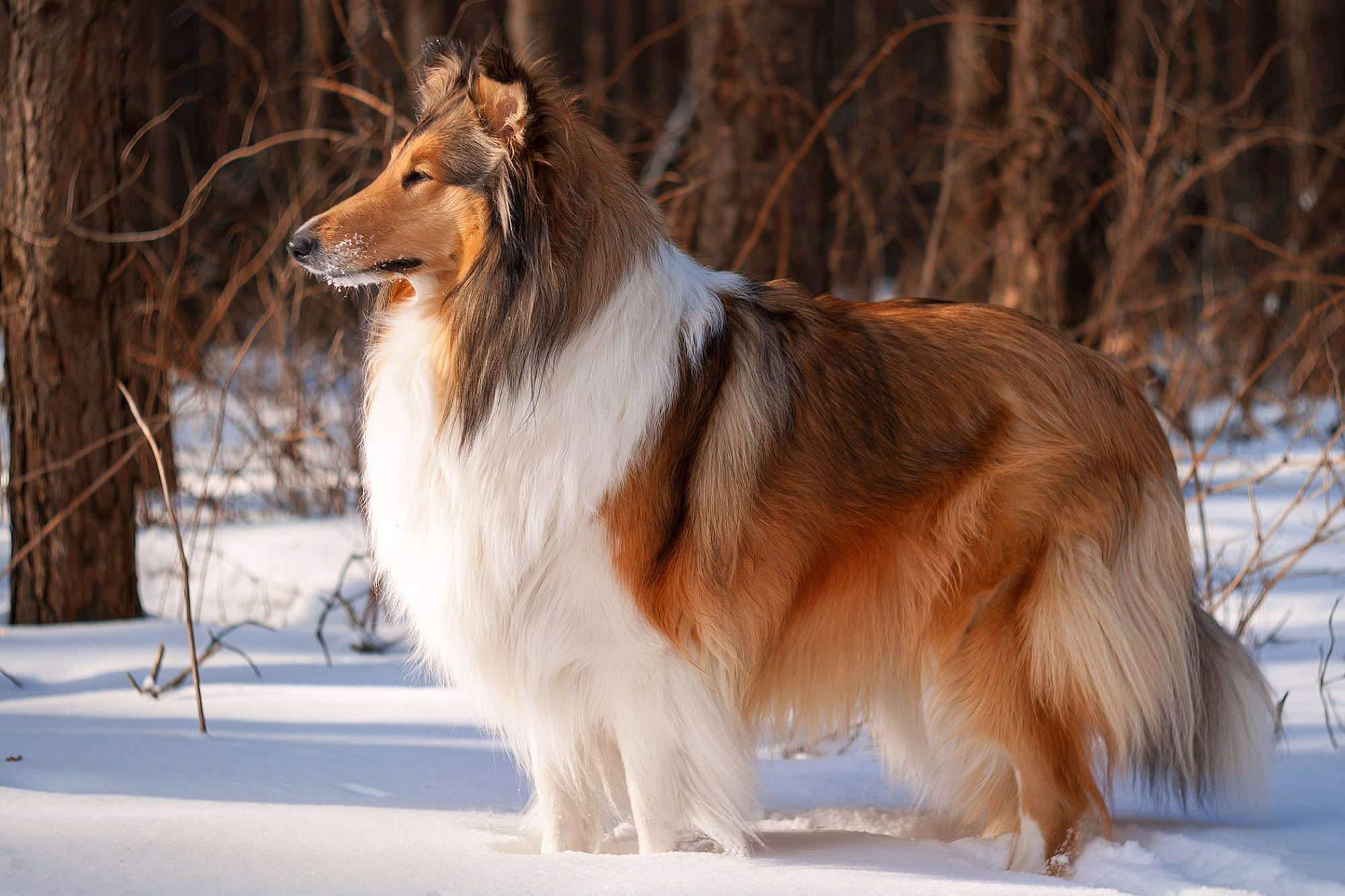 beautiful rough collie standing in snowy field