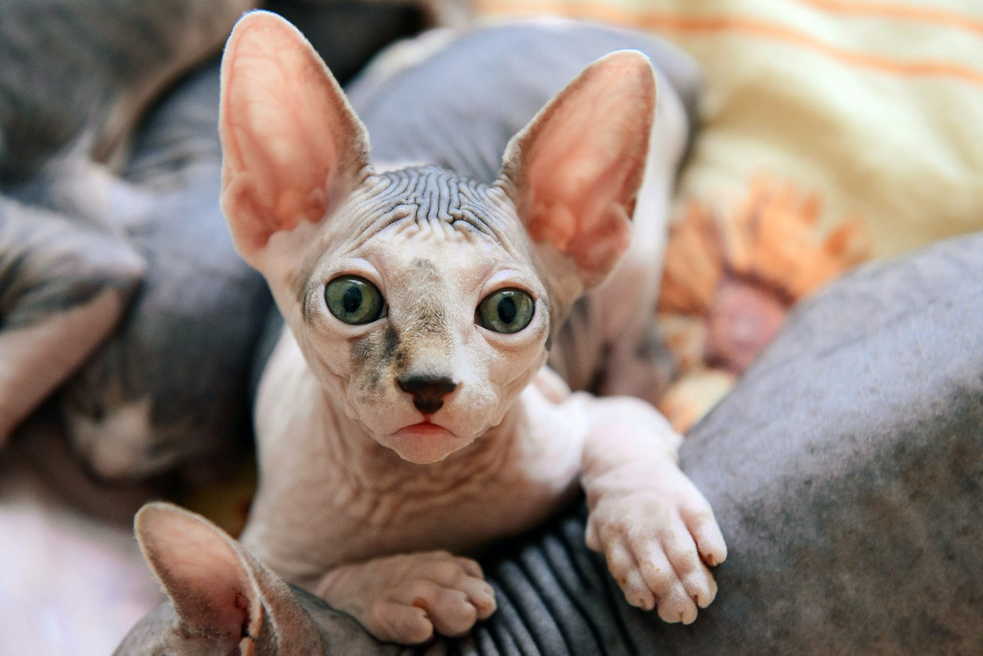 sphynx hairless kitten with littermates
