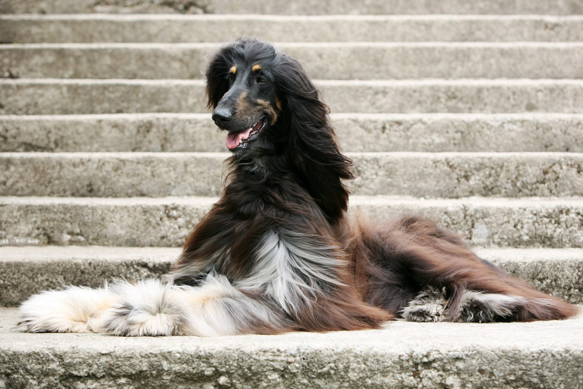 tri-color afghan hound lying on concrete steps